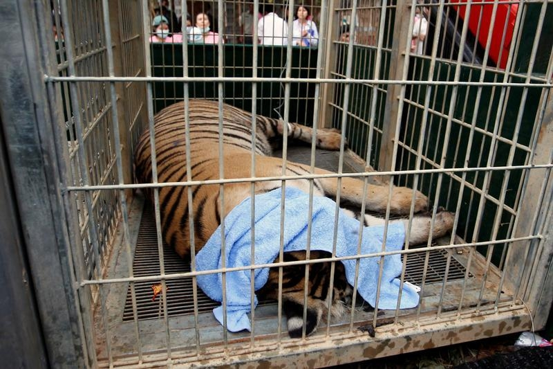 A sedated tiger in a cage as officials start moving tigers from Thailand's controversial Tiger Temple in Kanchanaburi province, west of Bangkok, on May 30, 2016