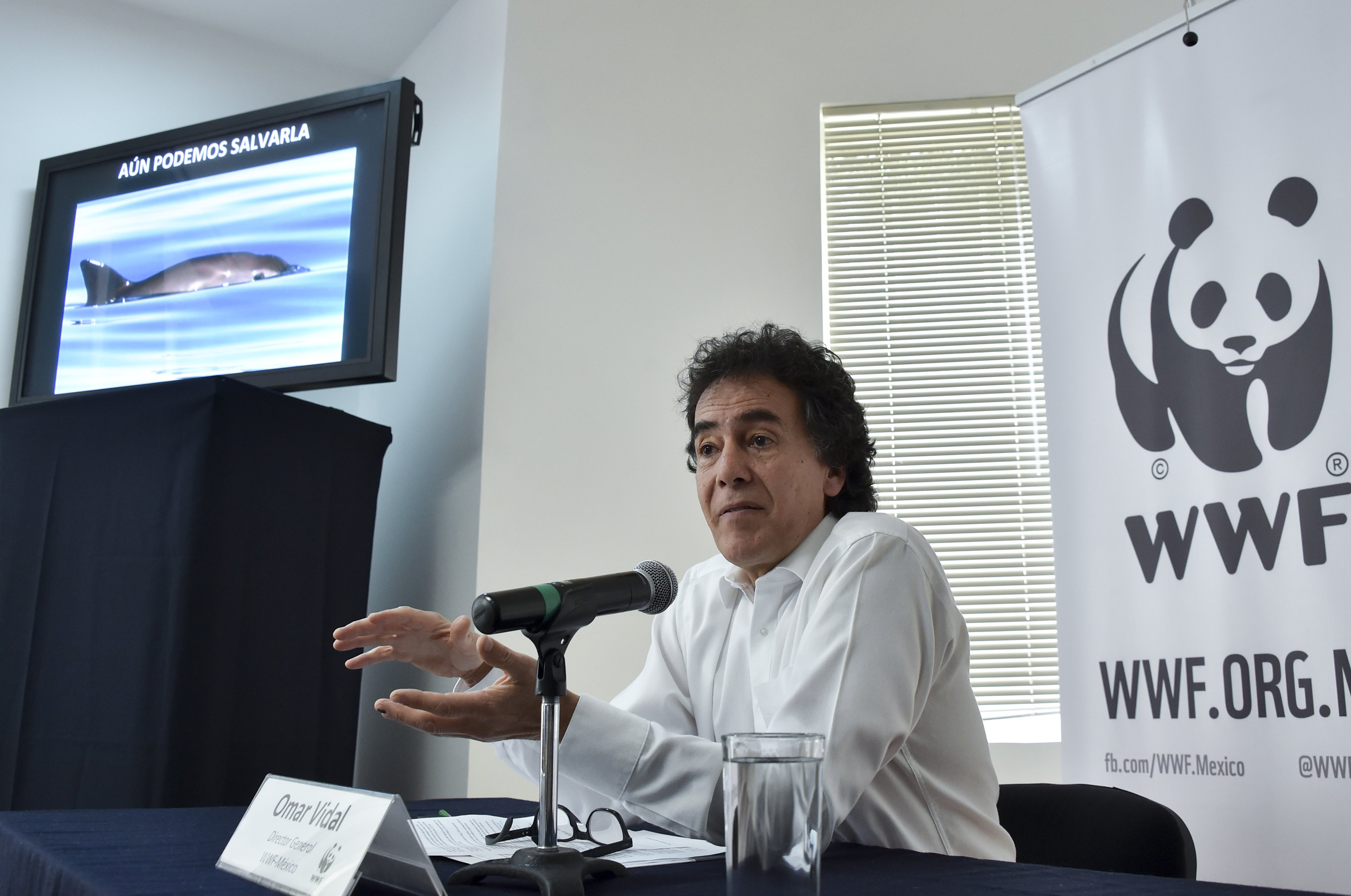 Mexico's General Director of World Wide Fund for Nature (WWF) Omar Vidal speaks during a press conference next to the image of a  vaquita marina  (Phocoena sinus) on a screen, in Mexico City on May 16, 2016.
