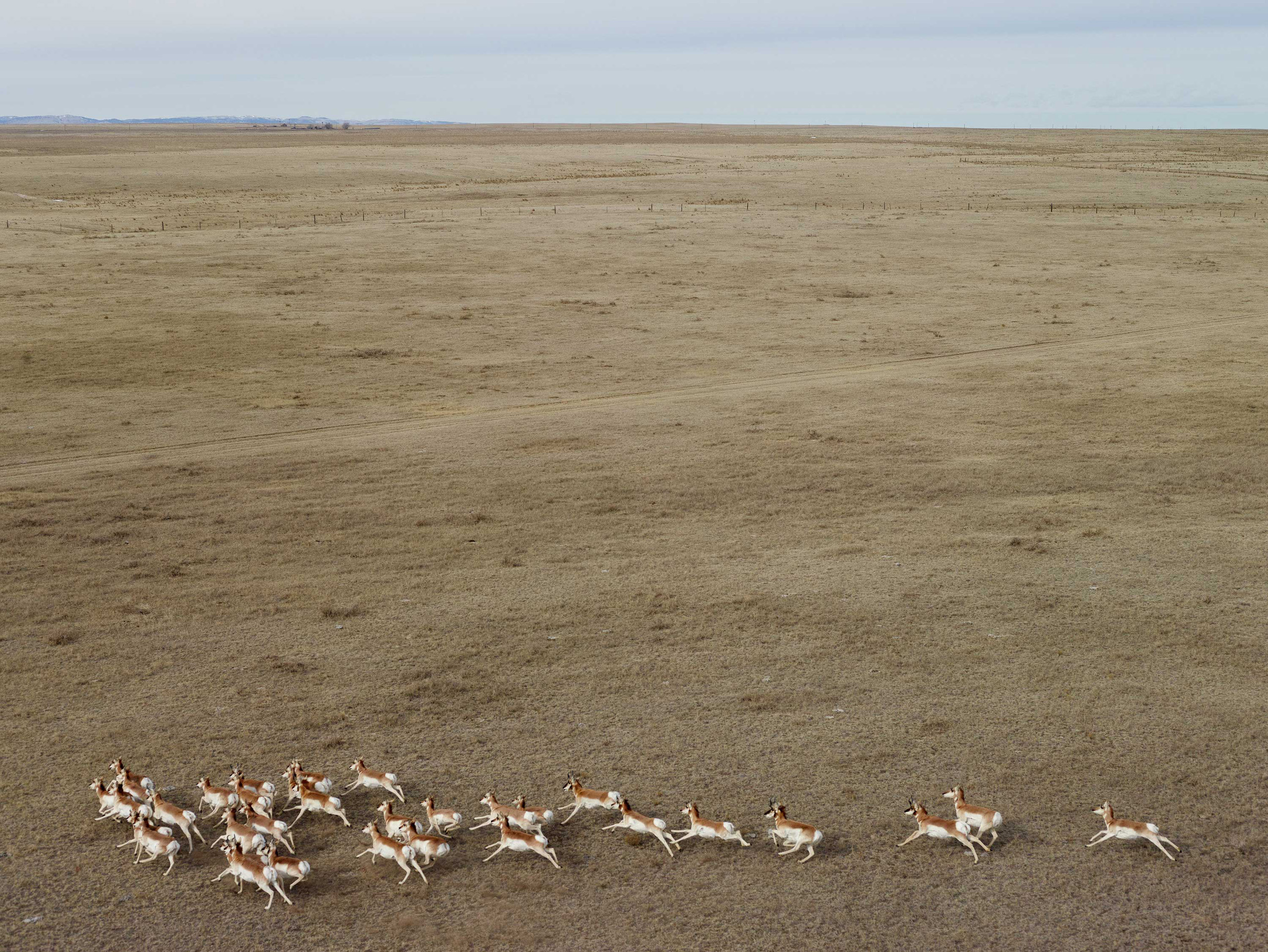 Pronghorn Antelope. Niobrara County, Wyoming, 2013.