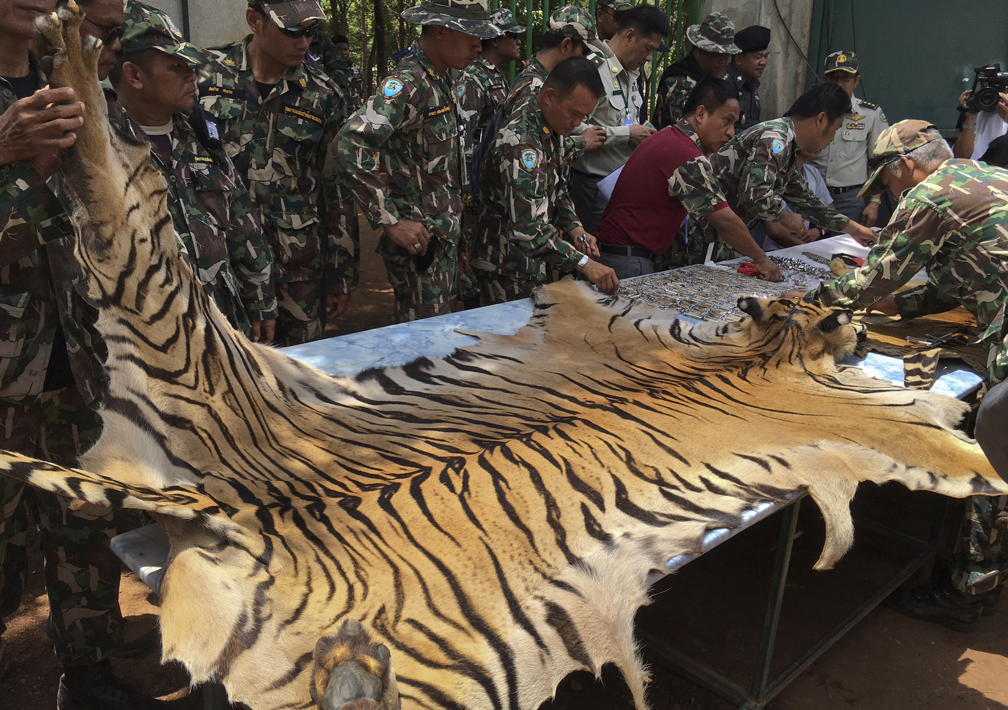 National Parks and Wildlife officers examine the skin of a tiger at the  Tiger Temple,  in Saiyok district in Kanchanaburi province, west of Bangkok, Thailand,  June 2, 2016.