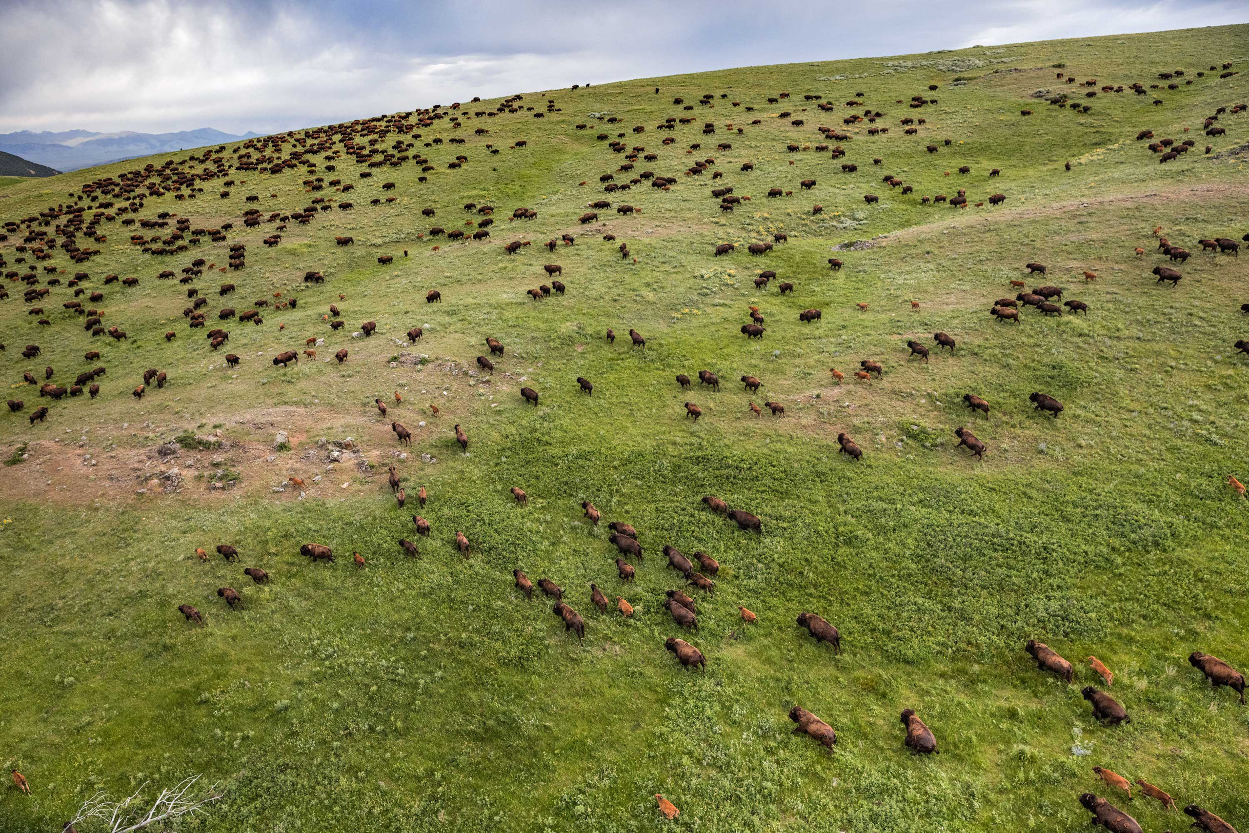 Bison are photographed on Ted Turner's Flying D Ranch outside Bozeman, MT on Tuesday, June 14, 2016.