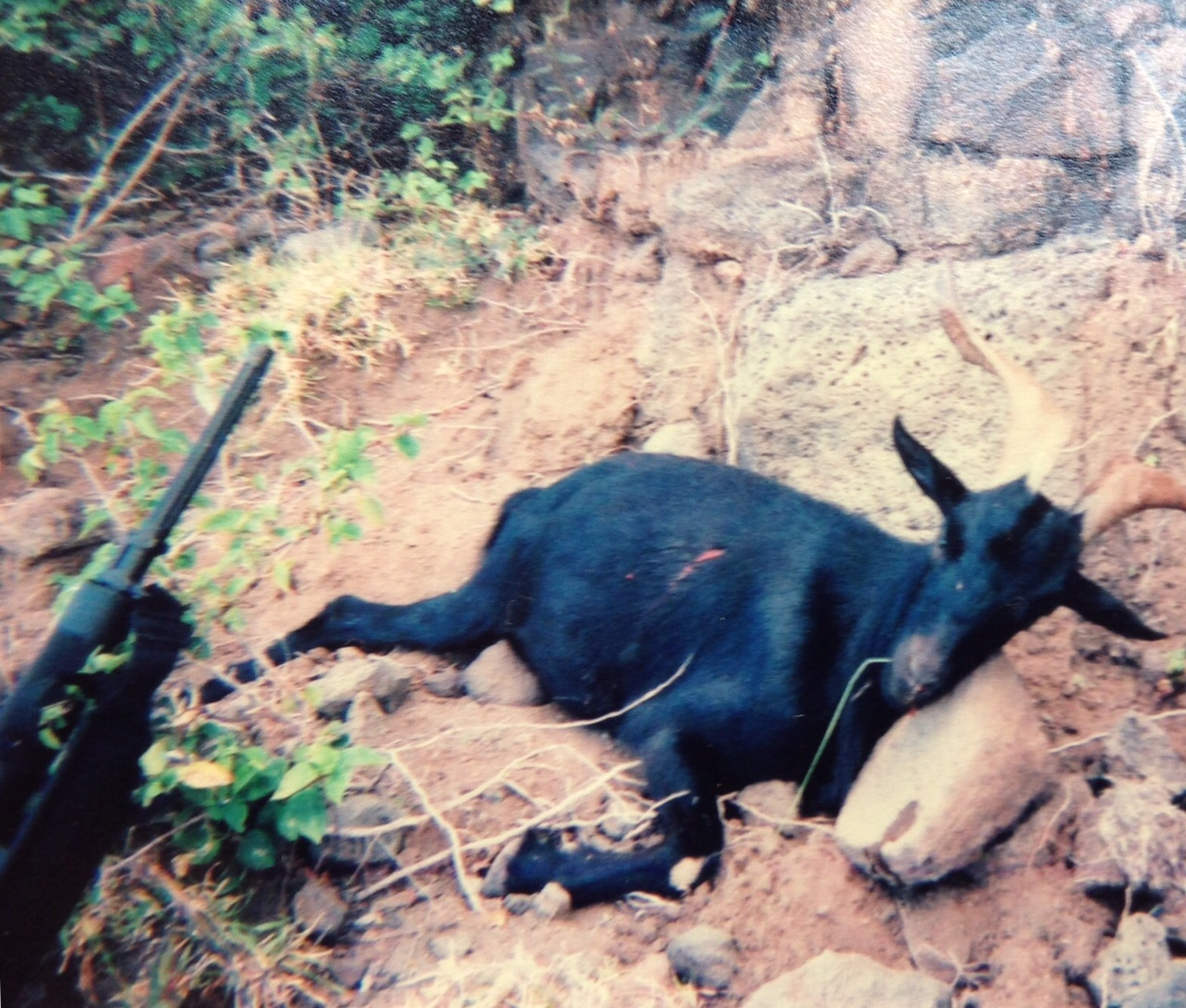 A goat killed in 2003 in the mountains on Kauai, the fourth largest Hawaiian island, with an AR-15.
