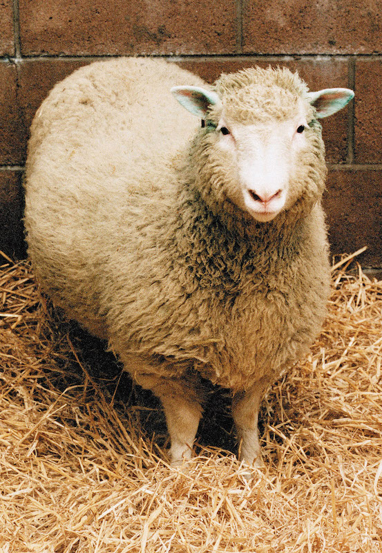 Dolly the Sheep, the world's first cloned mammal, is shown in this undated photo.