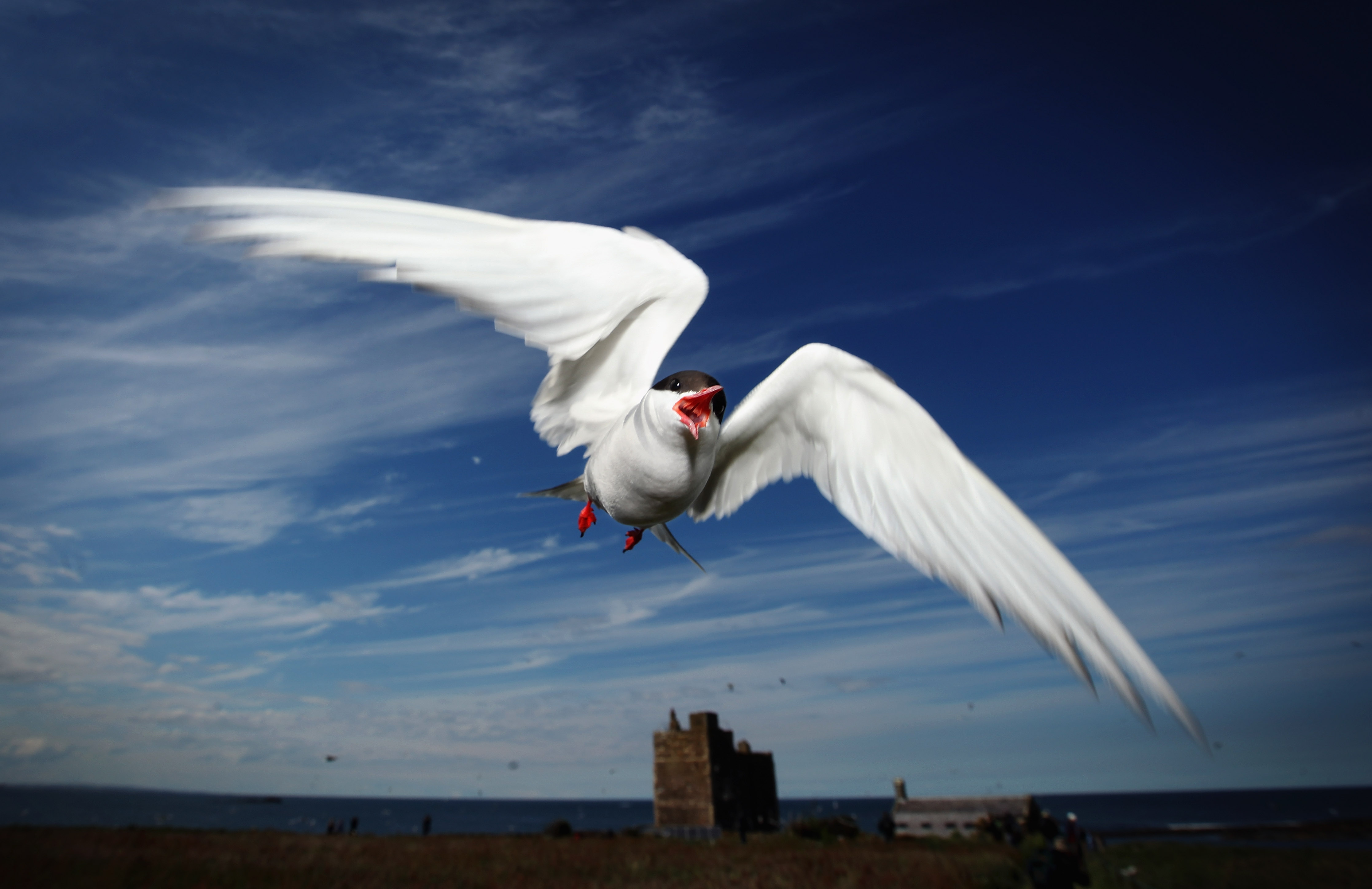 An Arctic Tern dives down to protect its nest on June 24, 2011 on Inner Farne, England