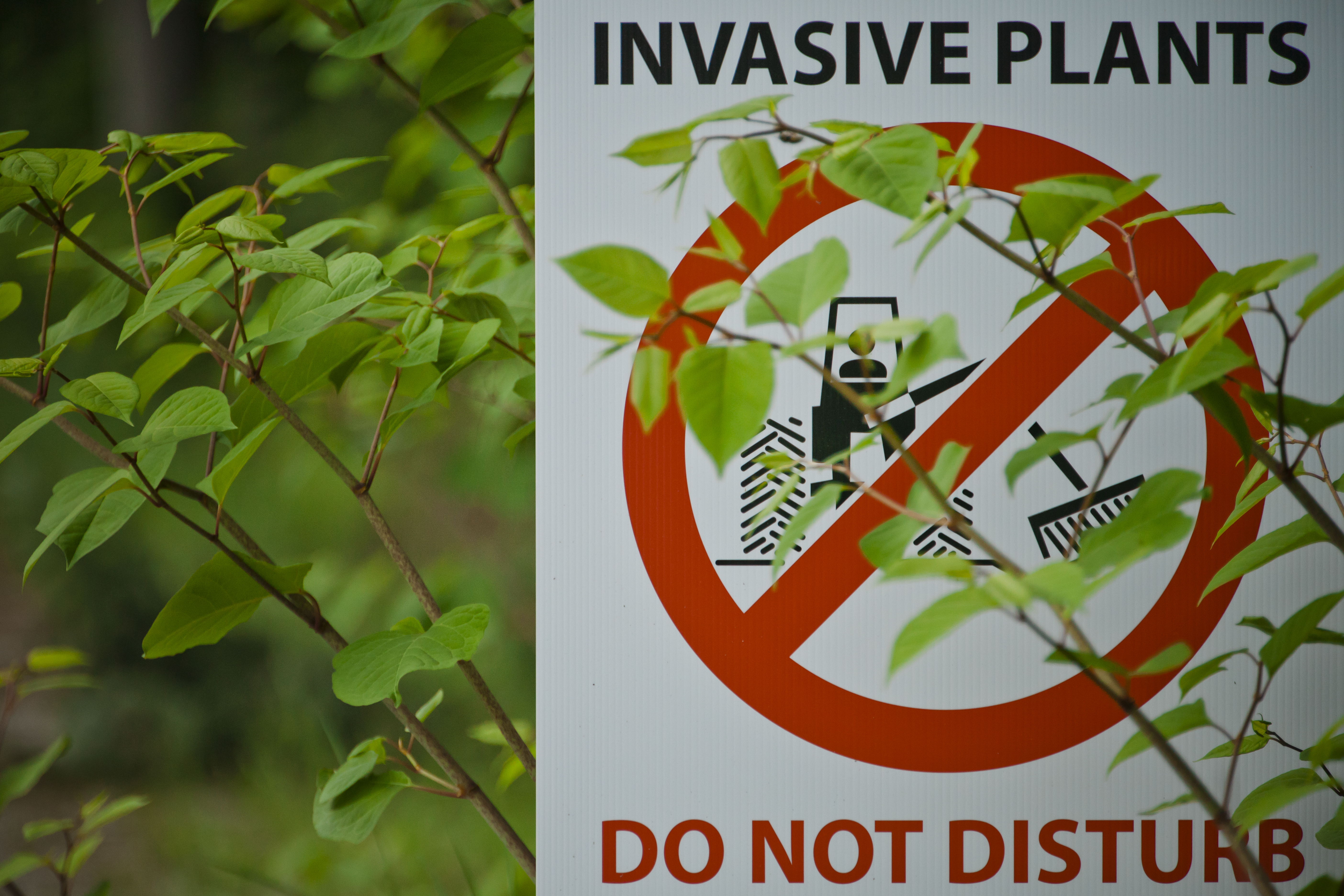 Japanese Knotweed (Fallopia japonica), an agressive invasive species, partially covers an invasive plant sign.