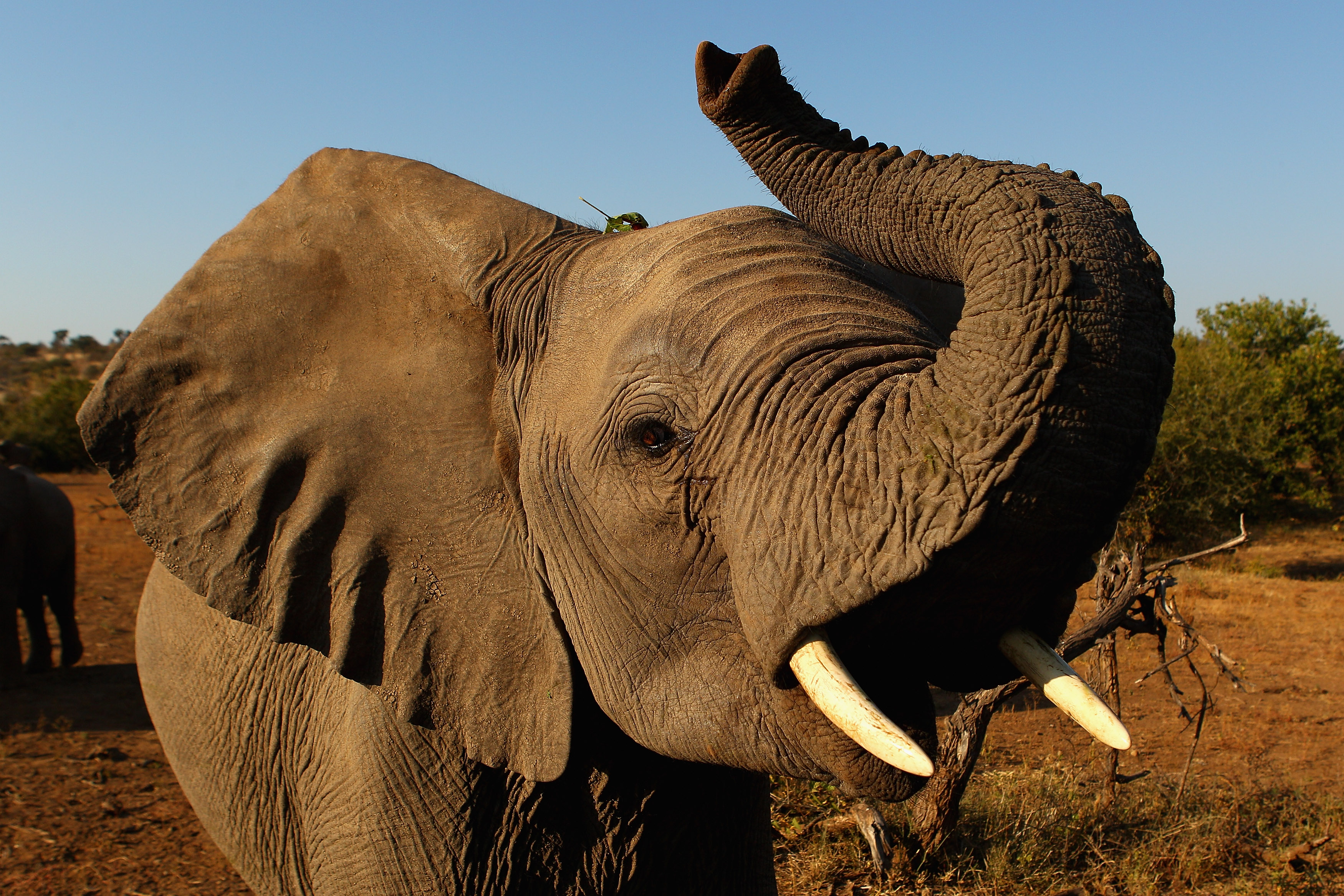 An elephant at the Mashatu game reserve in Mapungubwe, Botswana on July 26, 2010.