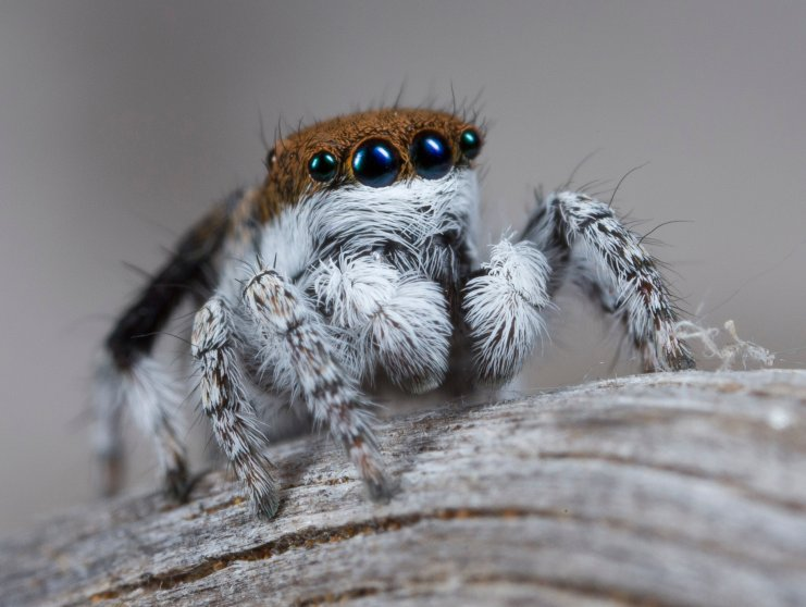 Maratus Albus was found at the Eyre Bird Observatory in Nuytsland Nature Reserve. It lacks the flaps that differentiate other peacock spiders.