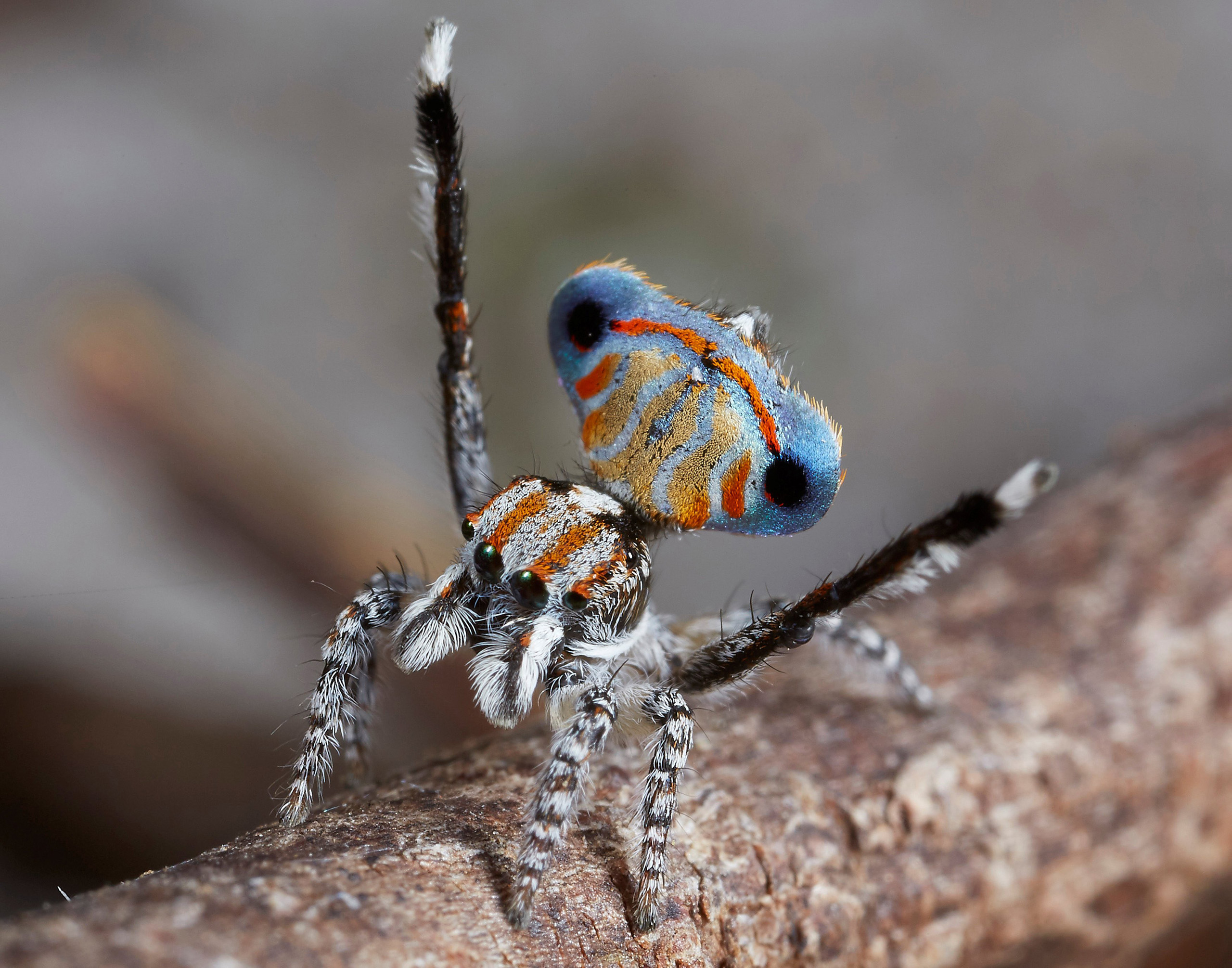 Maratus Australis was found at a number of different locations in Western Australia. While very similar to another species, Maratus Tasmanicus, it is different enough to be considered separate.