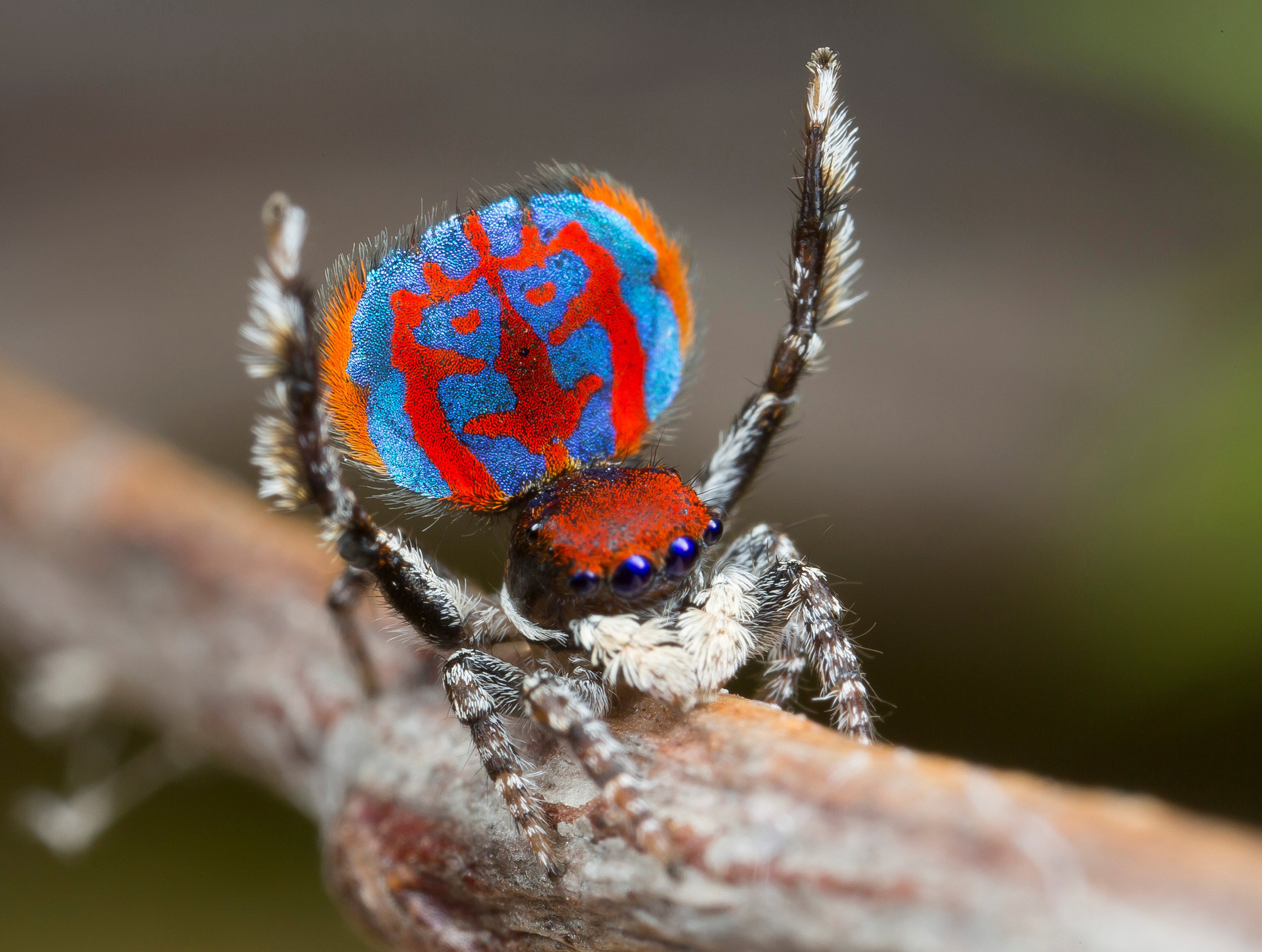 A specimen of the newly-discovered Australian Peacock spider, Maratus Bubo, shows off his colourful abdomen. Bubo, is the genus name for horned owls, a reference to the owl-like pattern on this spider's abdomen.