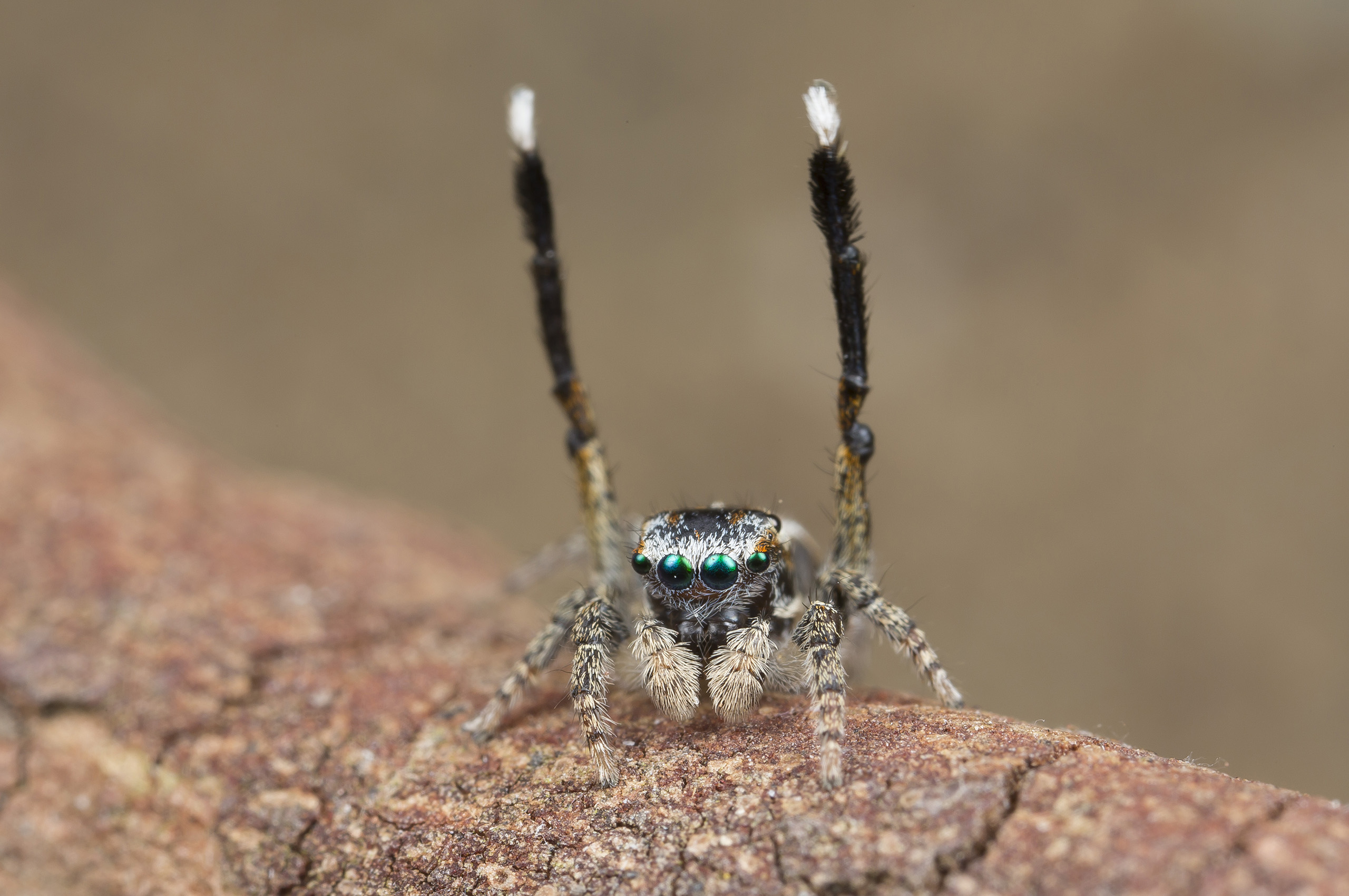 Maratus Tessellatus relies on leg work, as opposed to a flashy abdomen, for its courtship display. Its legs move so fast that in a normal 25 fps video clip, they appear only as a blur.