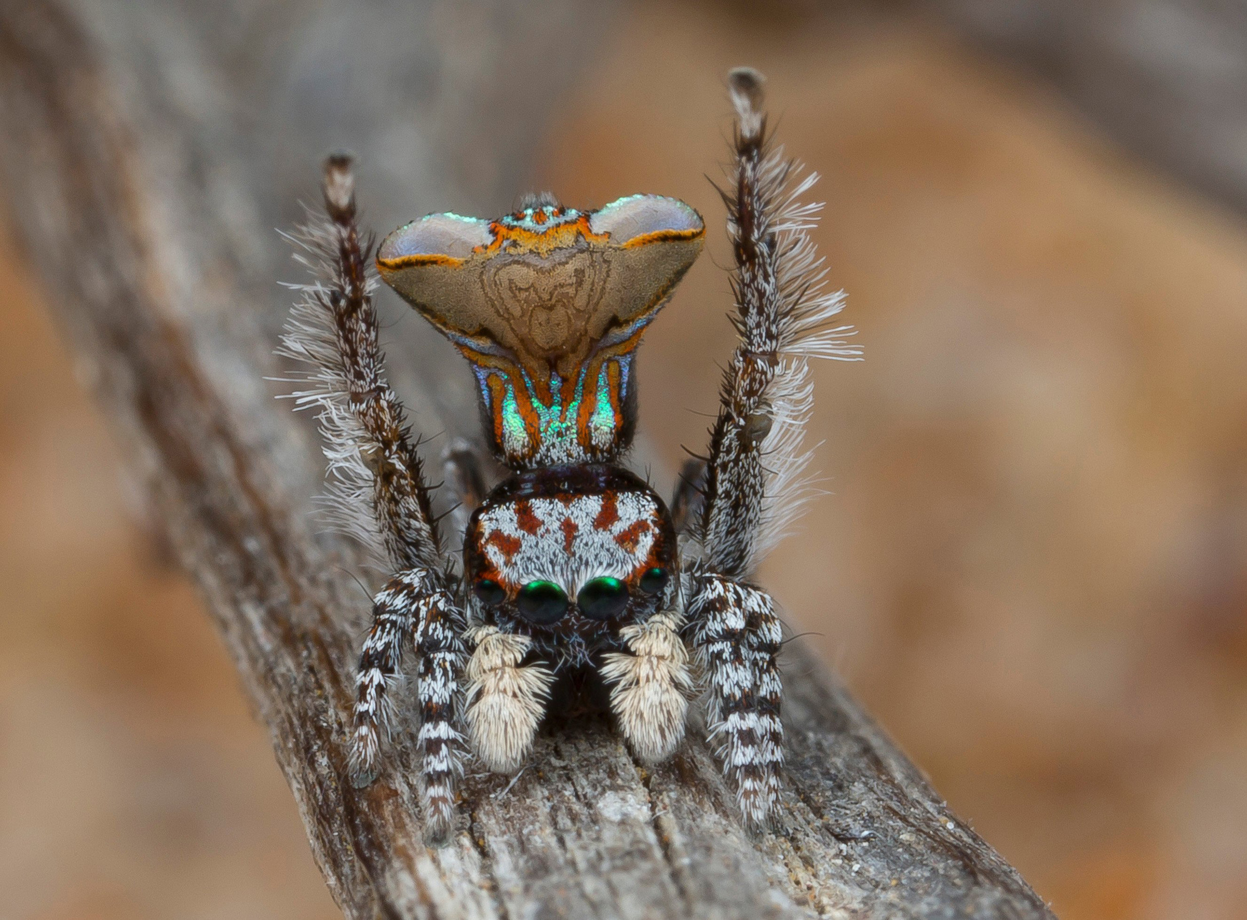 The name for Maratus Vespa comes from the generic name for wasps, a reference to the pattern on the spider's abdomen, which looks like a wasp's face. M. Vespa performs an elaborate mating  dance, which uses the iridescent patches in the center of the fan to attract the attention of a female.