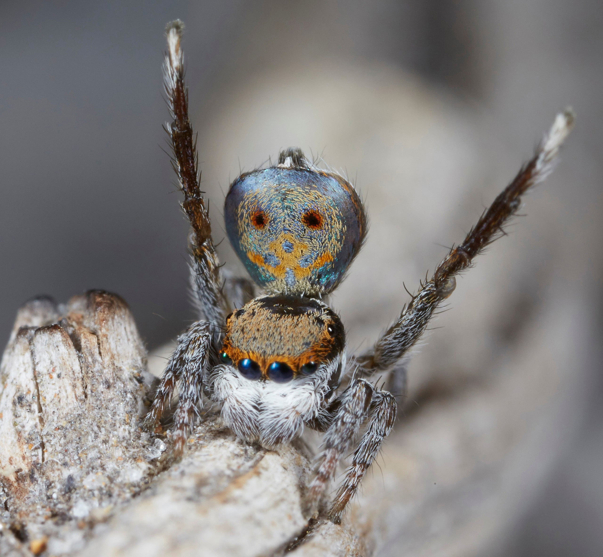 Maratus Vultus shows off its colorful abdomen and waves its legs during a mating display.