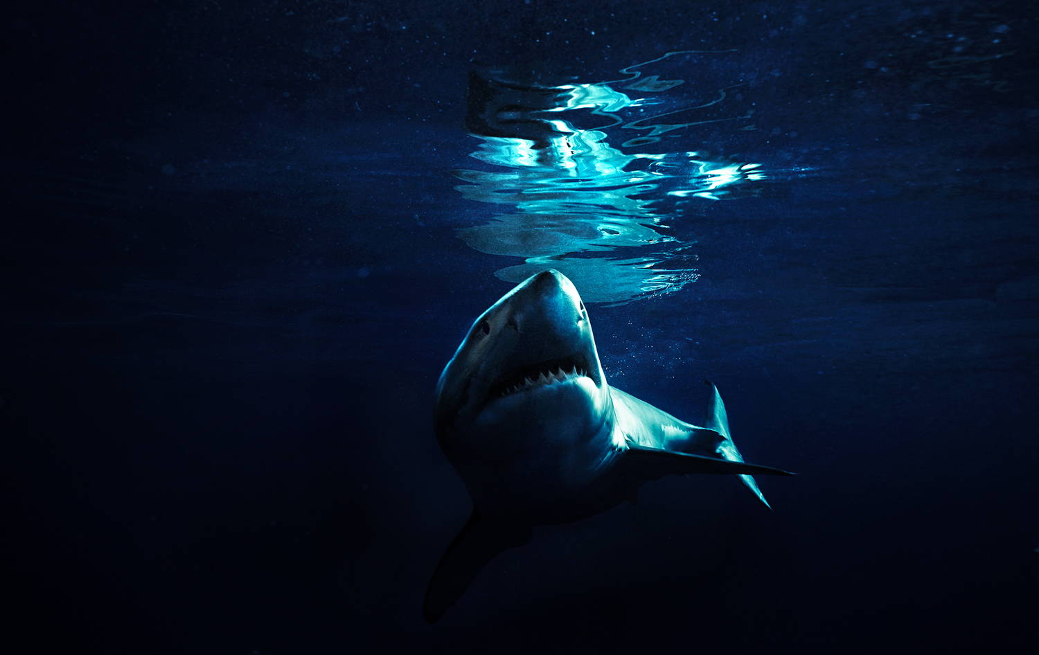Great white, Guadalupe Island, Oct. 2009