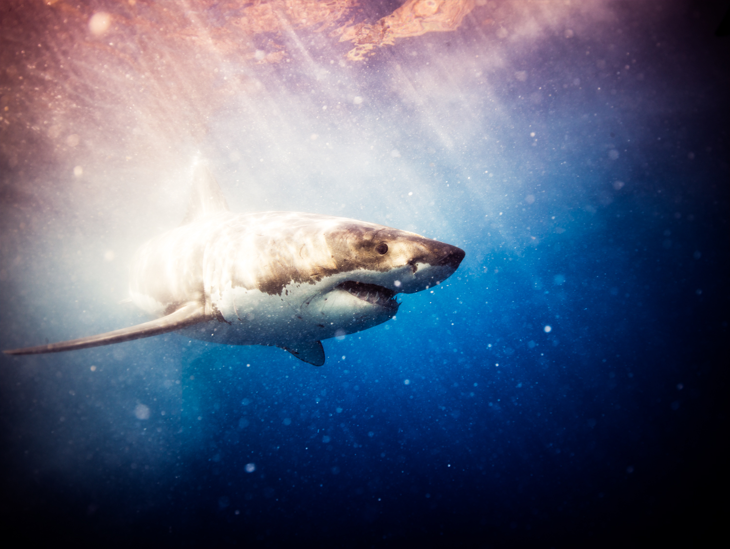 Great white, Guadalupe Island, Oct. 2015