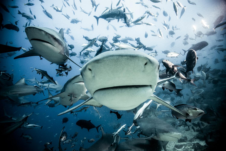 Bull sharks, Beqa, May 2011