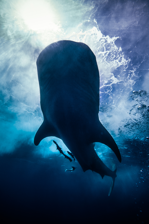 Whale shark, Isla Mujeres, Mexico, April 2014