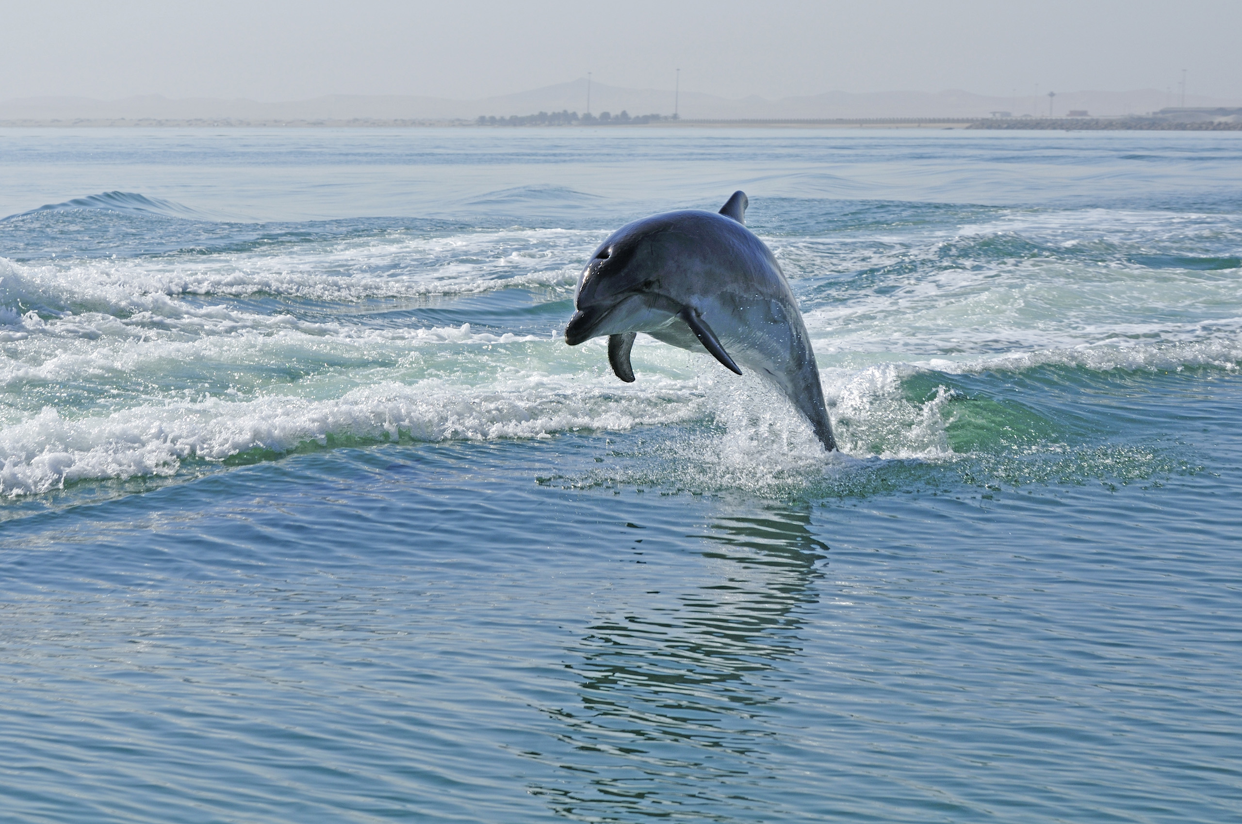 Walvis Bay, Dolphins in the harbor.