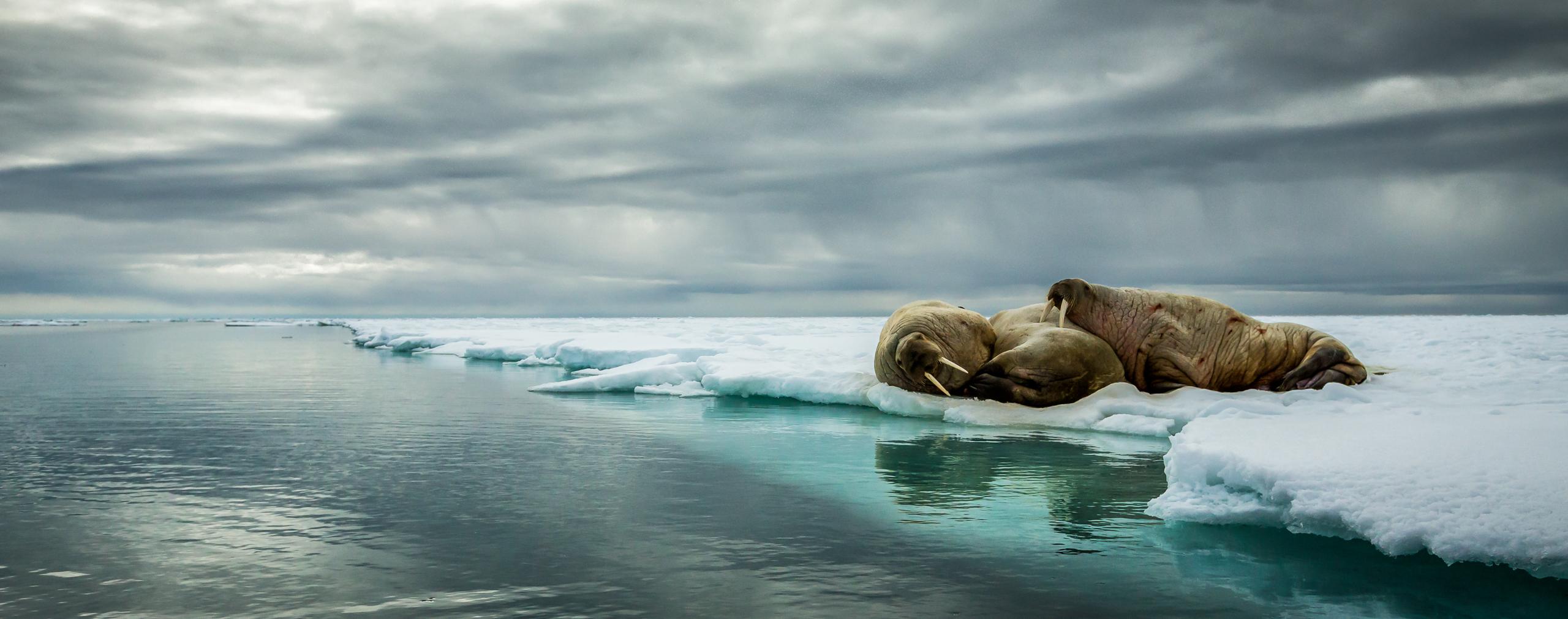 Walrus huddle in Svalbard, Norway, 2015.