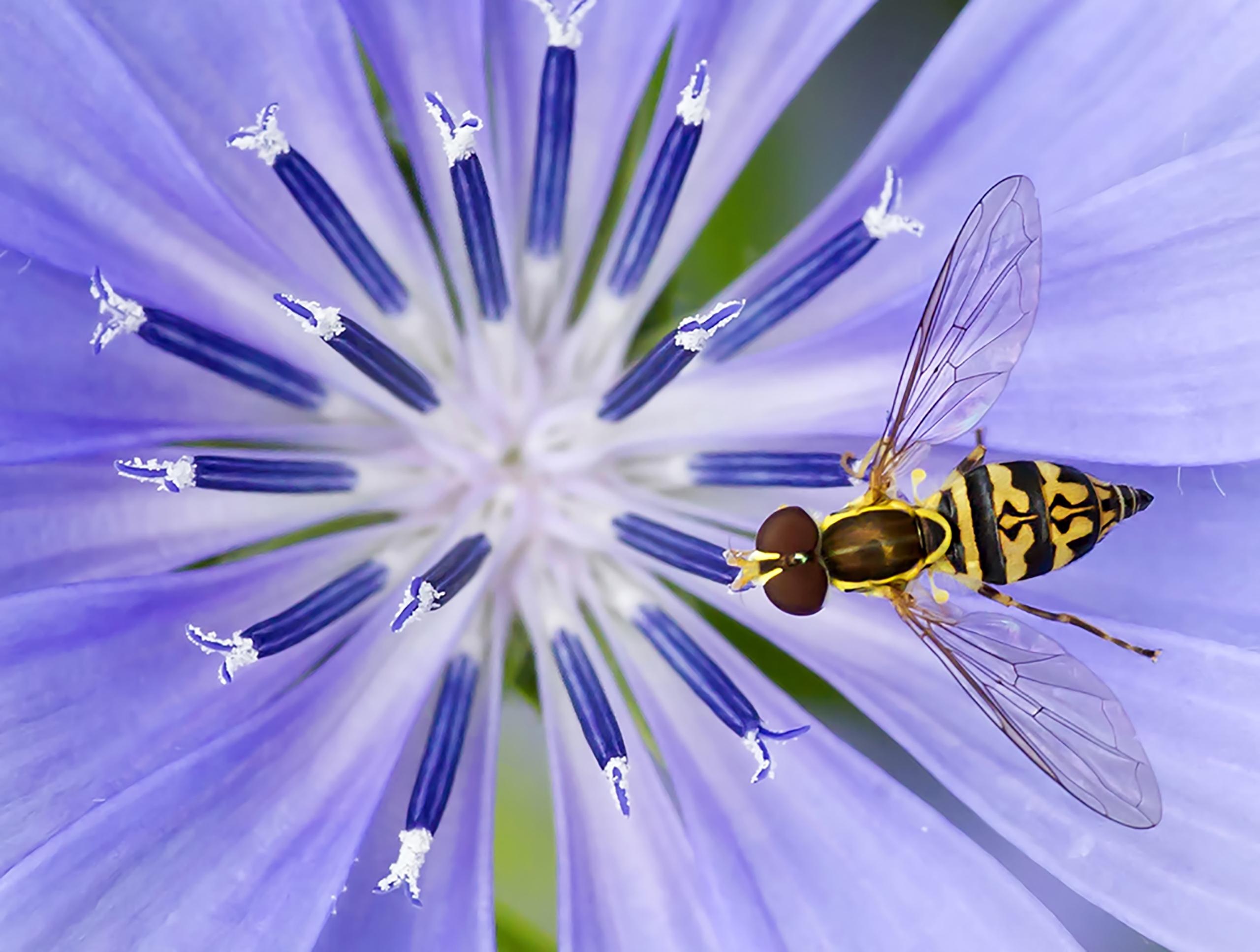 Hover fly on chicory flower, Finger Lakes, New York, 2015.