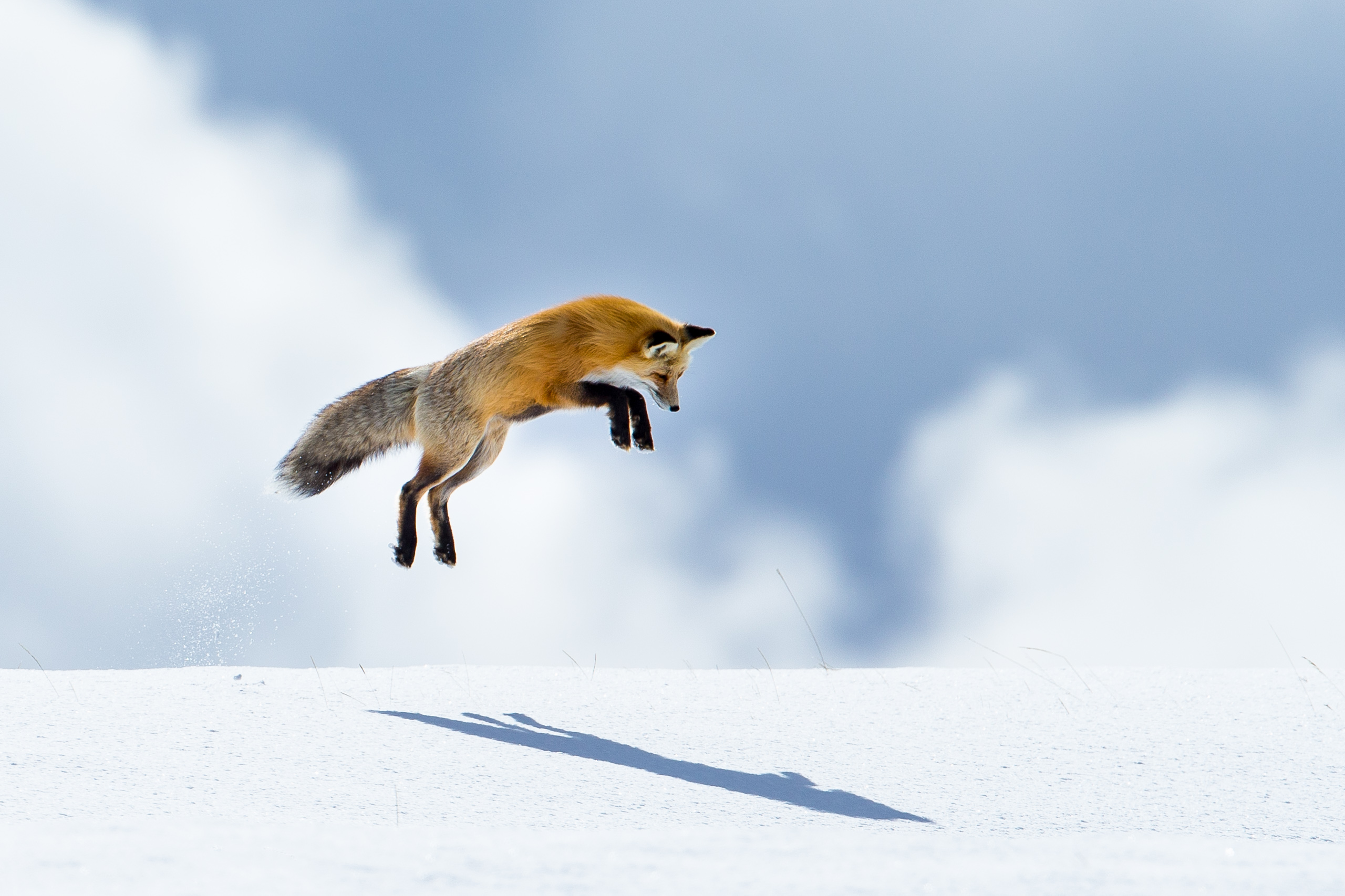 Peter Pan and His Shadow, Fox mousing jump, Yellowstone National Park, 2015.