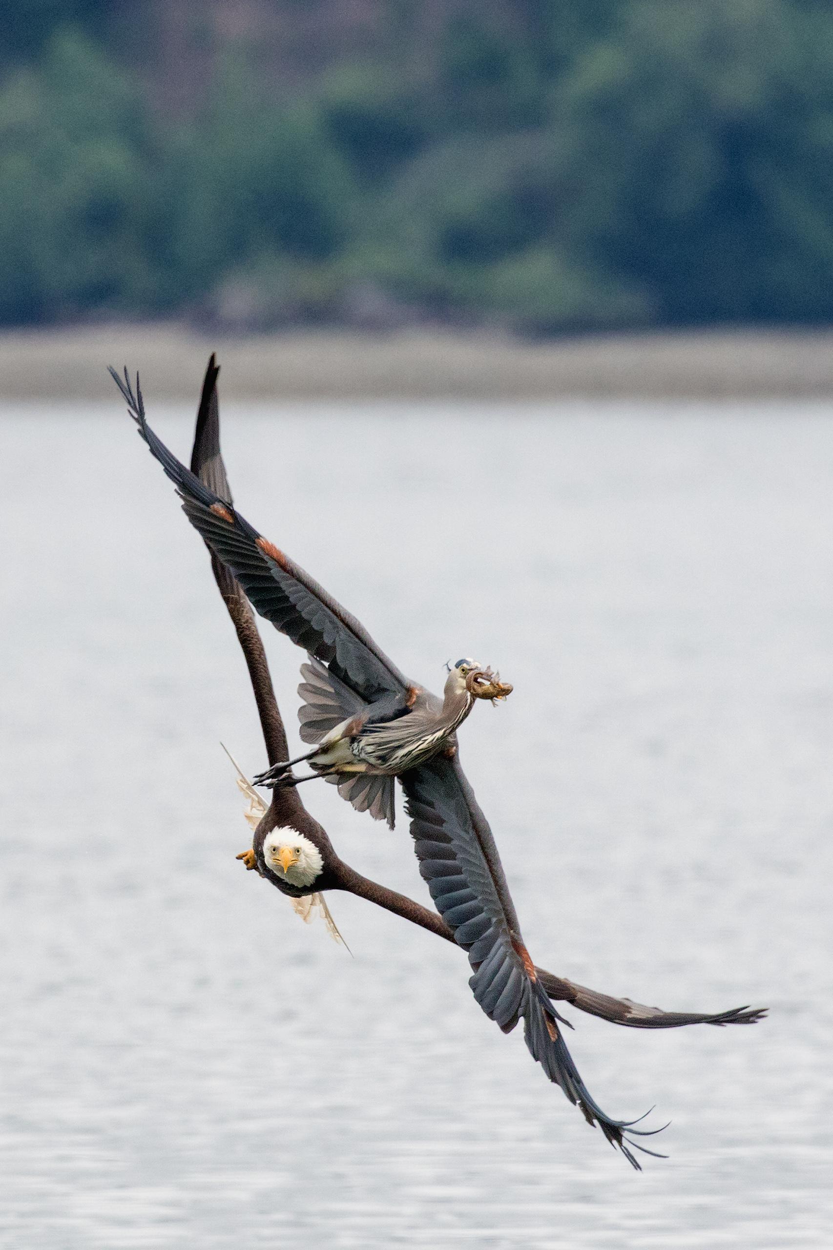 Bald eagle chasing great blue heron, Hood Canal, Washington, 2015.