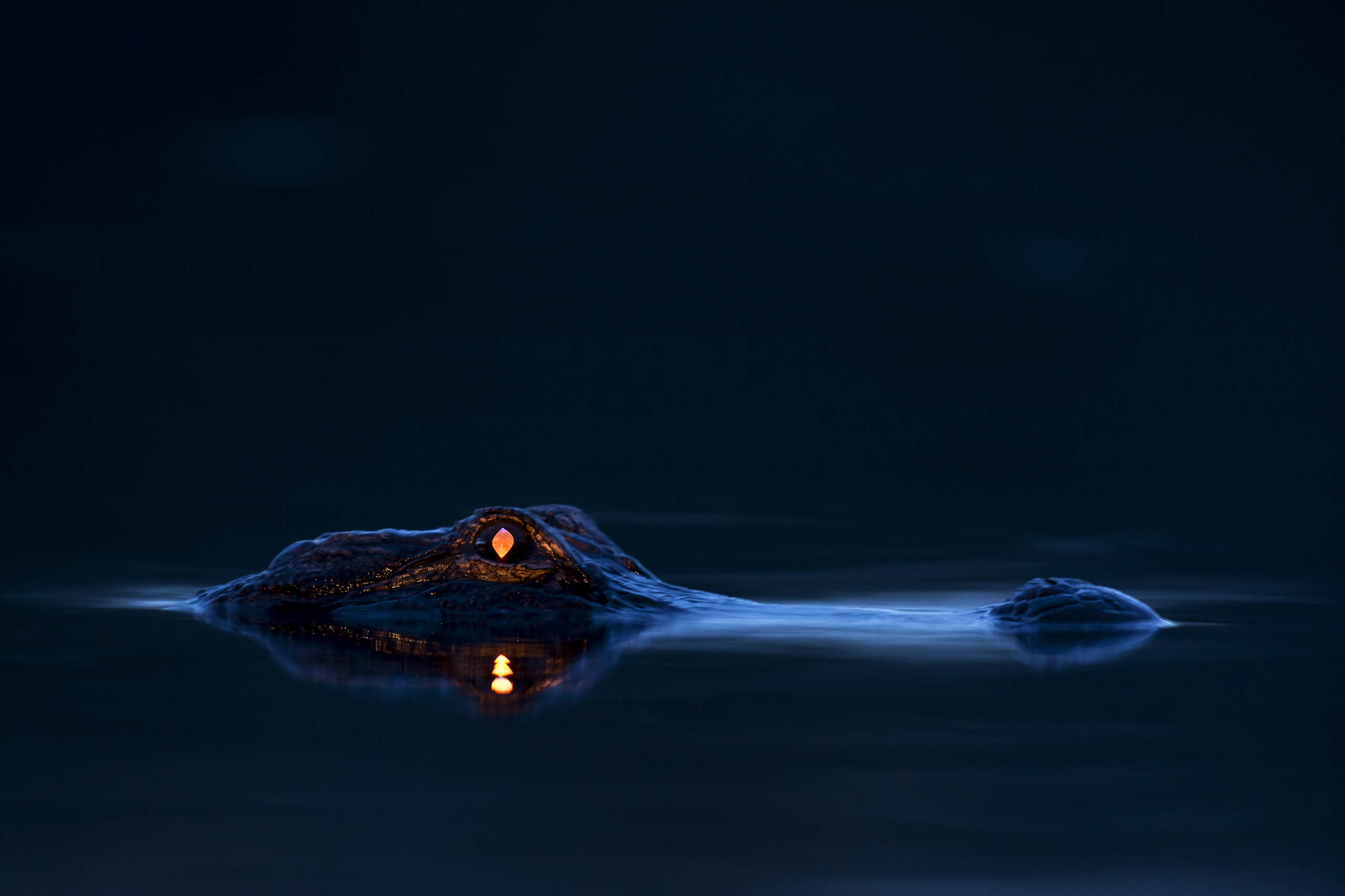 Alligator eyeshine, Myakka River State Park, Sarasota, Fla, 2014.