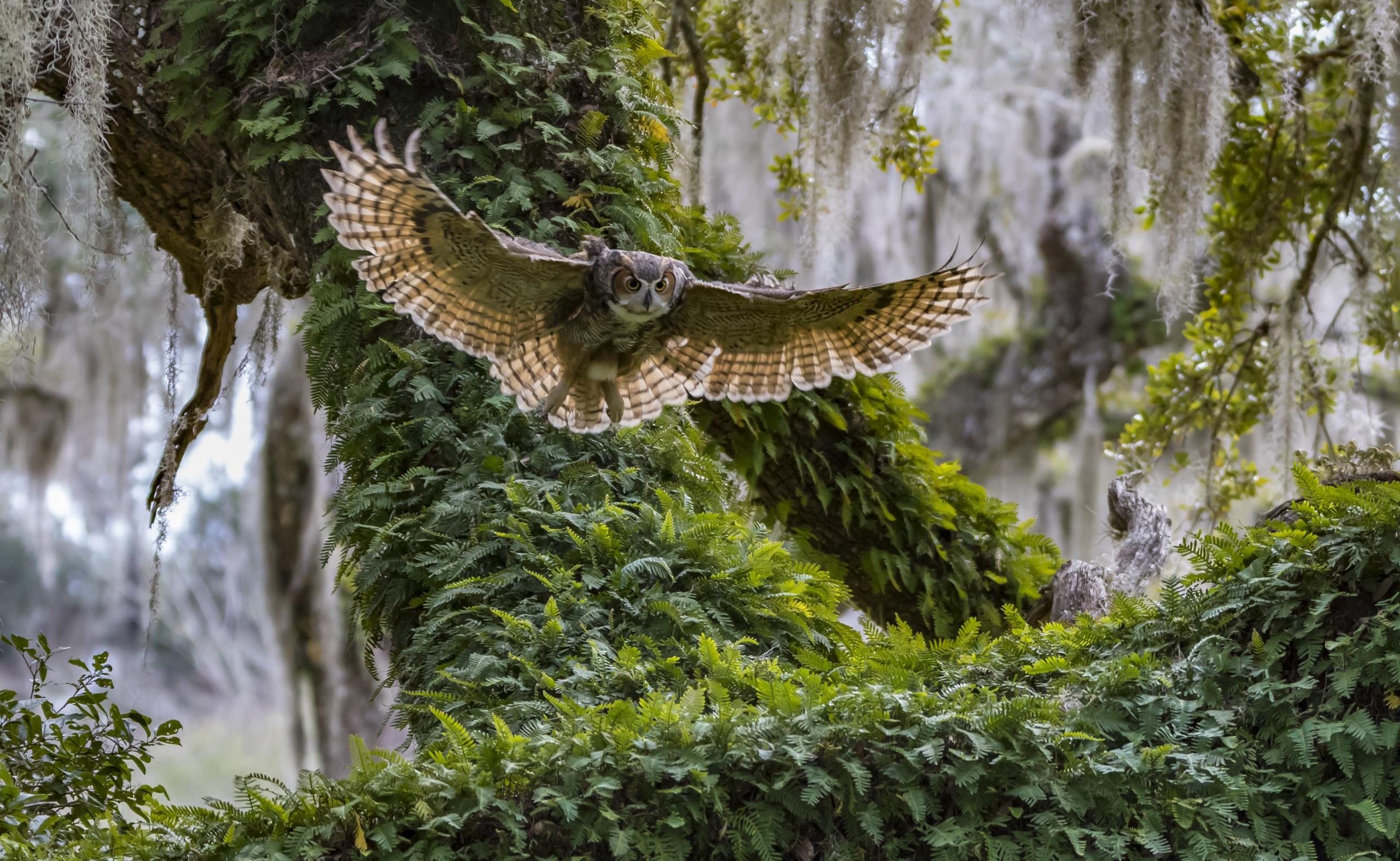 Great horned owl, Lecanto, Fla, 2015.