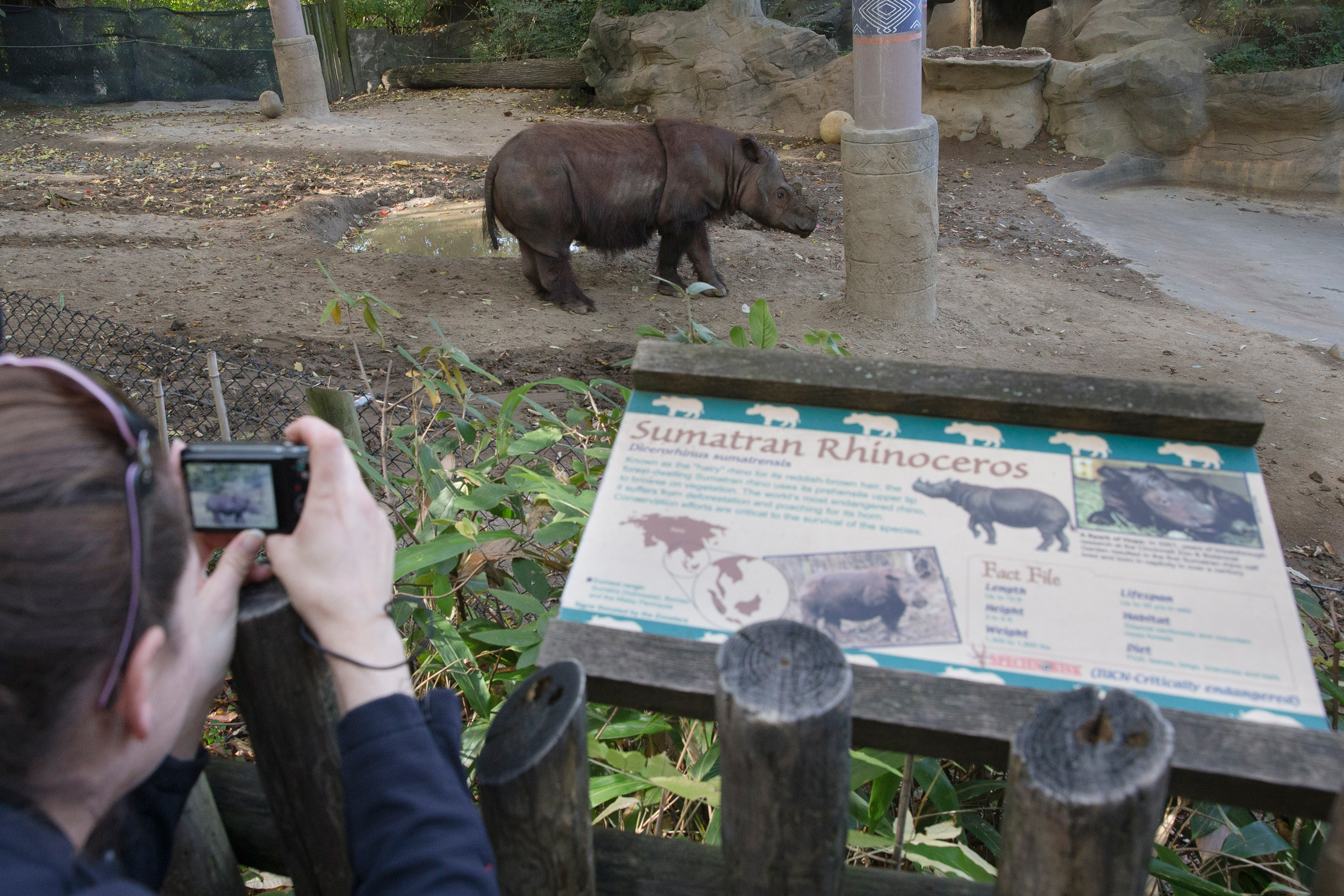 Visitors photograph Harapan, a Sumatran Rhino, as he roams his enclosure on his last day of viewing at the Cincinnati Zoo and Botanical Gardens, in Cincinnati on Oct. 29, 2015. Harapan, the last of his kind in the Western Hemisphere, is on the way to his ancestral southeast Asian homeland on a mission to help preserve his critically endangered species by mating with one of the females in an Indonesian sanctuary.