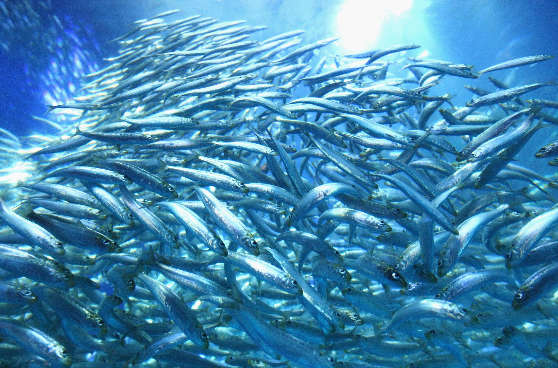 Shoal of sardines swim in the new tank at Yokohama Hakkeijima Sea Paradise on March 19, 2009, in Yokohama, Japan