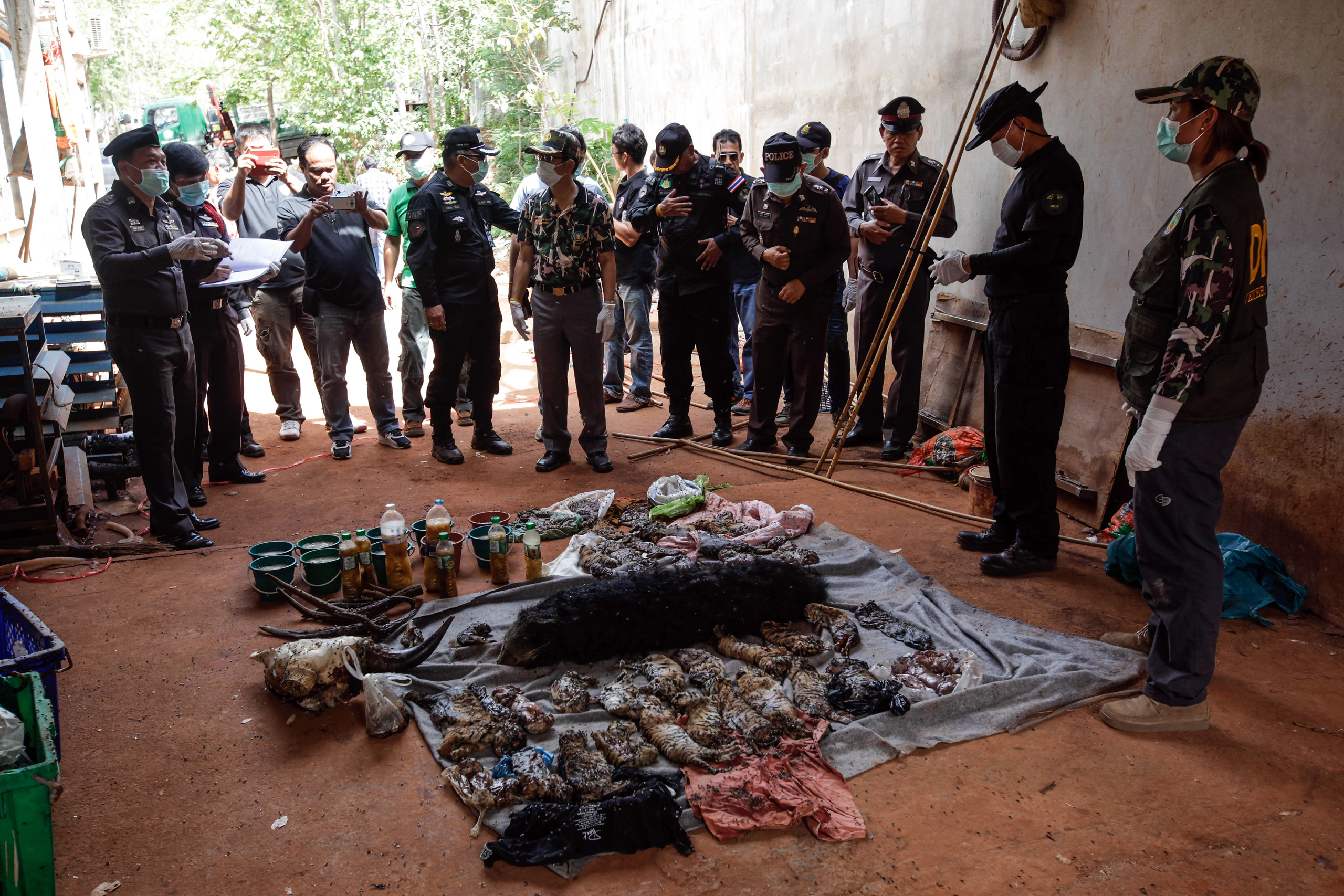 Thai DNP officers observe the carcasses of 40 tiger cubs and a binturong (also known as a bearcat) found undeclared at the Wat Pha Luang Ta Bua Tiger Temple in Kanchanaburi province, Thailand on June 1, 2016 .