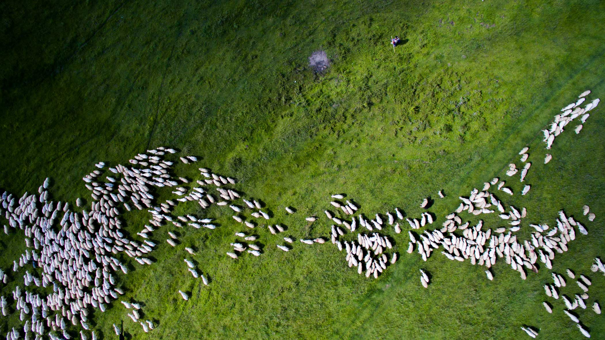 2nd Place—Nature  We wanted to present the traditional Romania in                               its full beauty. We were travelling by car and suddenly along the road from the distance I've                               spotted the sheep herd. 99% of the time I'm travelling with my drone.