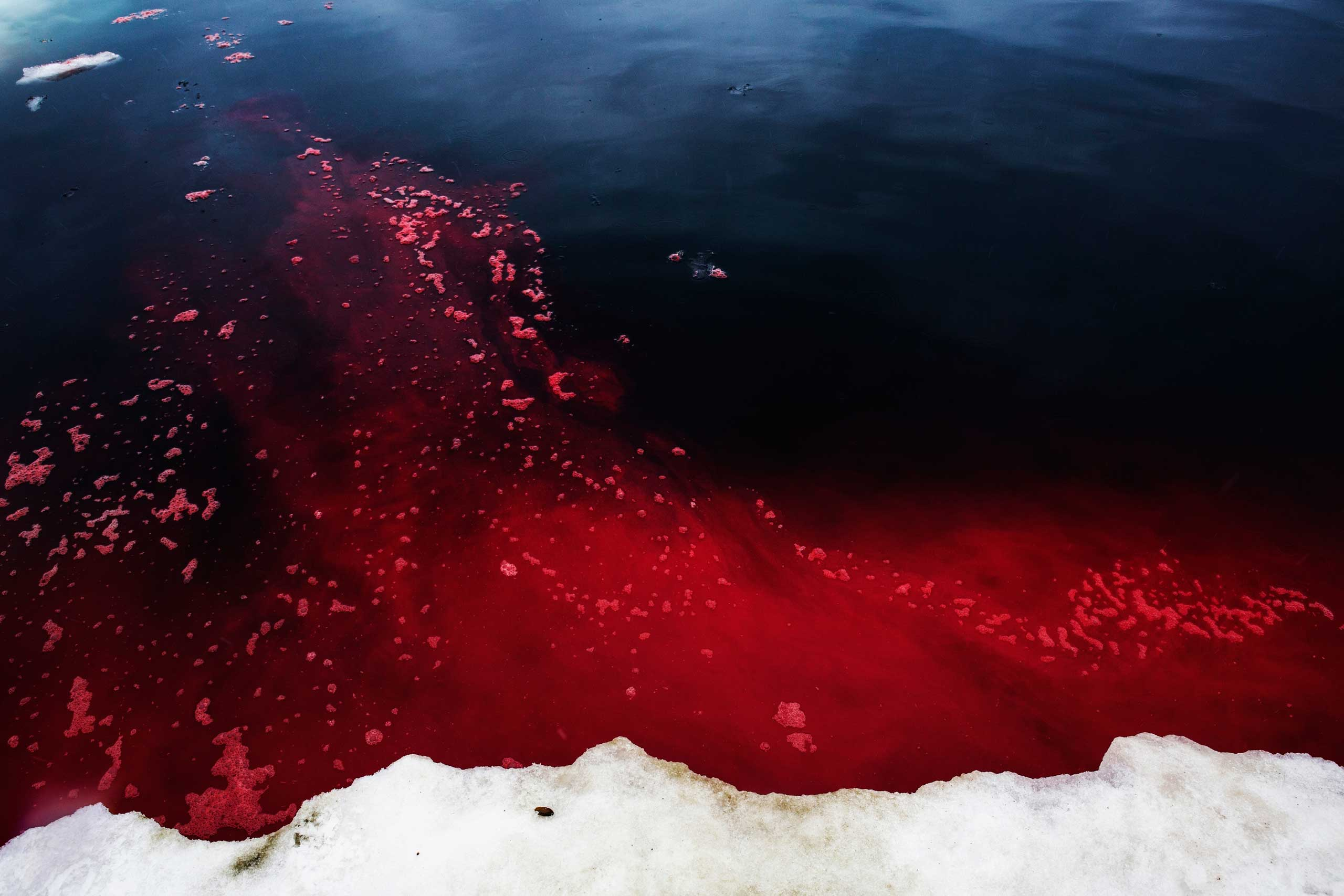 Walrus blood in the Arctic Ocean near Barrow, Alaska. Hunters looked for ugruk (bearded seal) after the sea ice  went out  but came upon hundreds of walrus instead. Walrus this close to town during this time of year is rare, and due to warming weather.