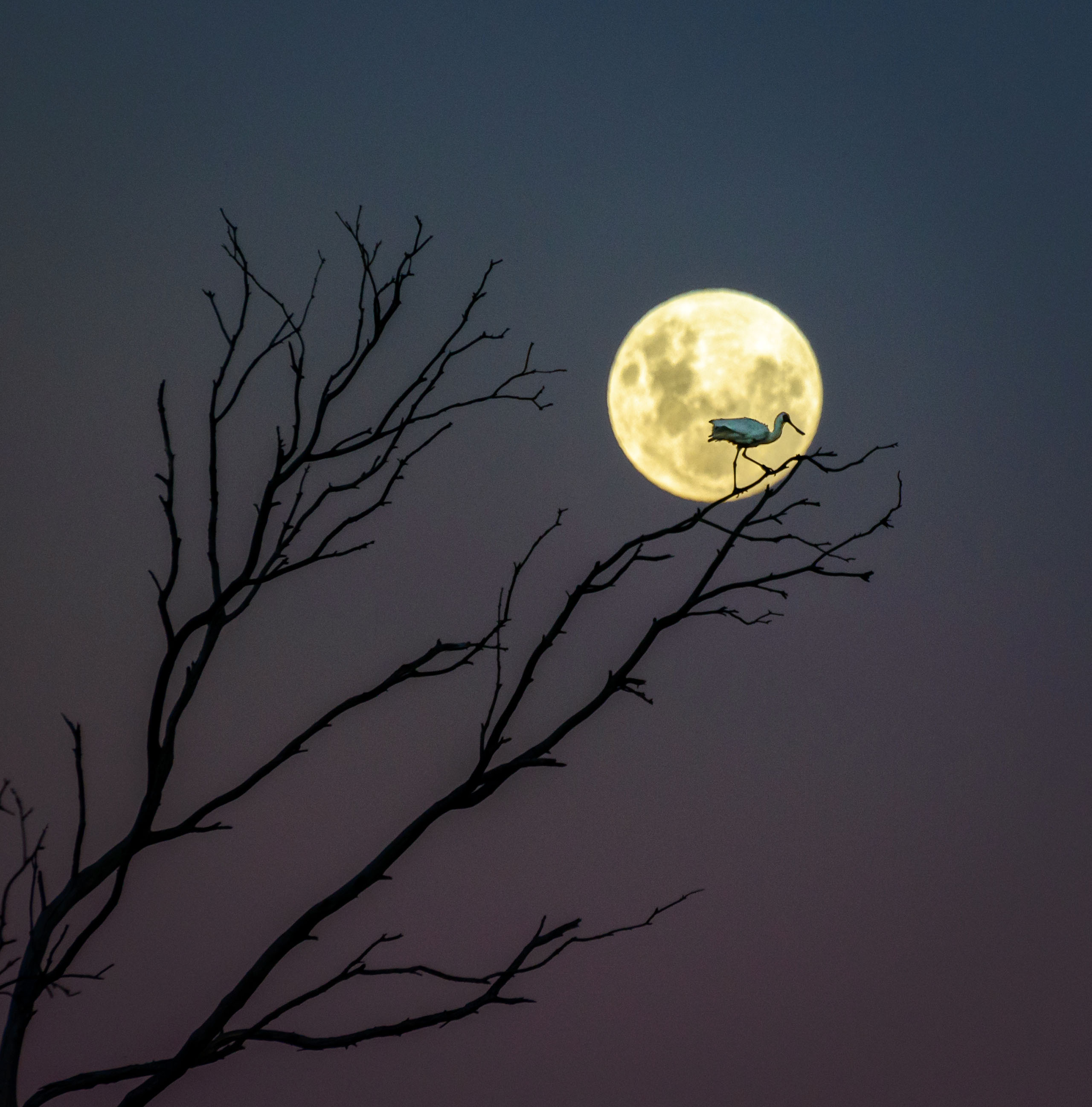 A Royal Spoonbill sits atop of a branch, basking in the glow of the nearly full moon in Hawke's Bay, New Zealand.