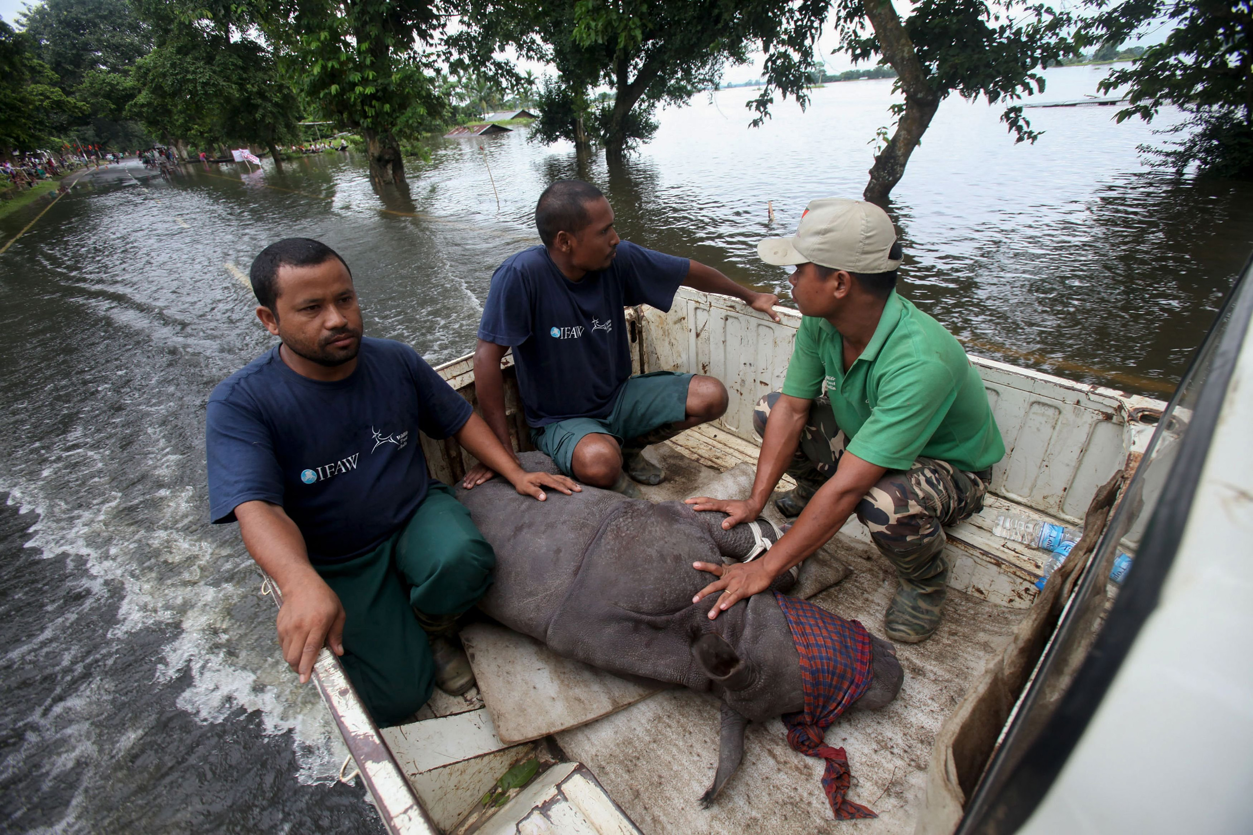 A rescued infant rhino calf is transported to safety after being found by IFAW-WTI wildlife officials and volunteers in flood waters in the Sildubi area of the Bagori forest range of Kaziranga National Park in the northeastern Indian state of Assam.                     on July 27, 2016.