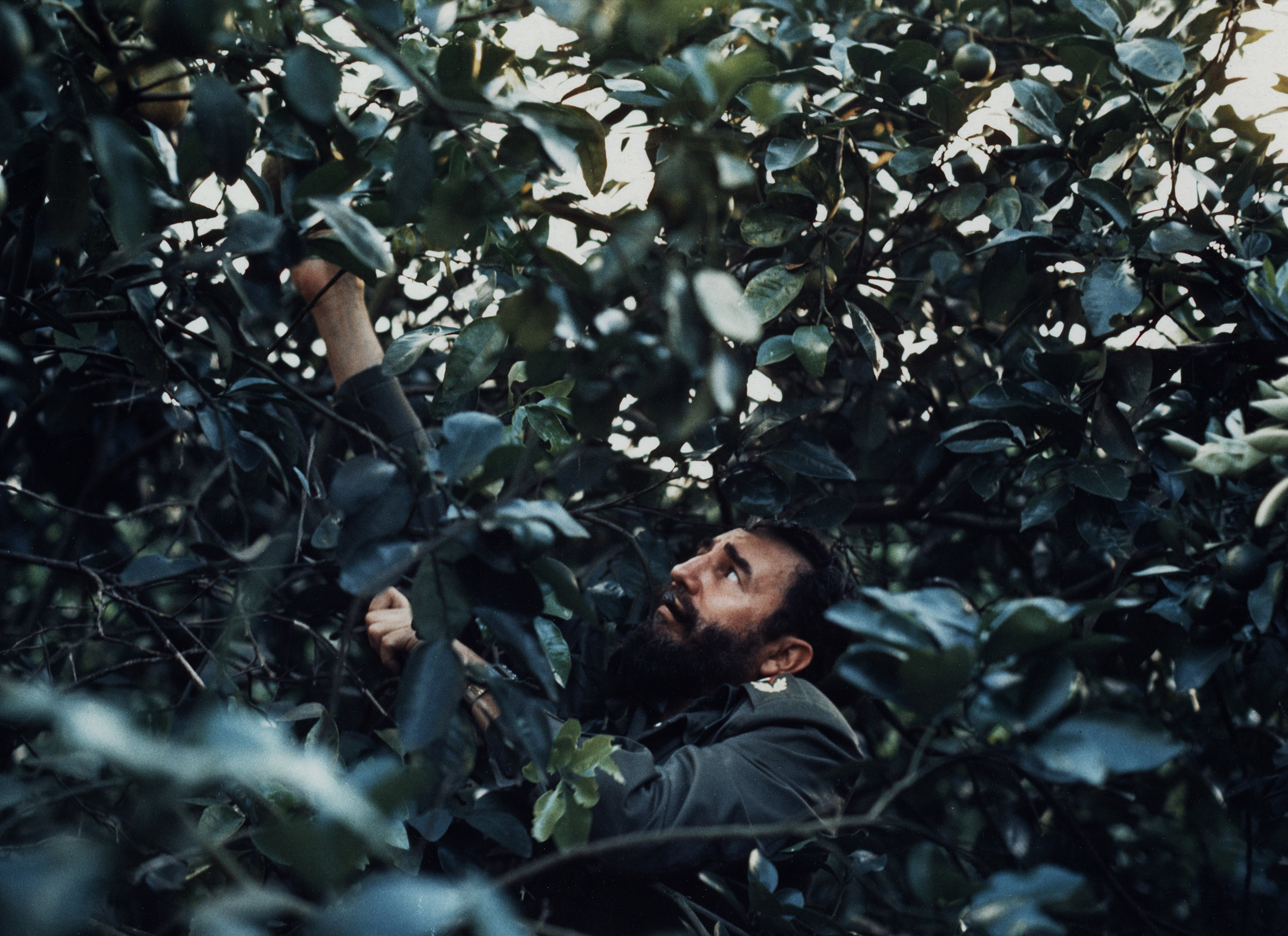 Fidel Castro surrounded by grapefruit trees.