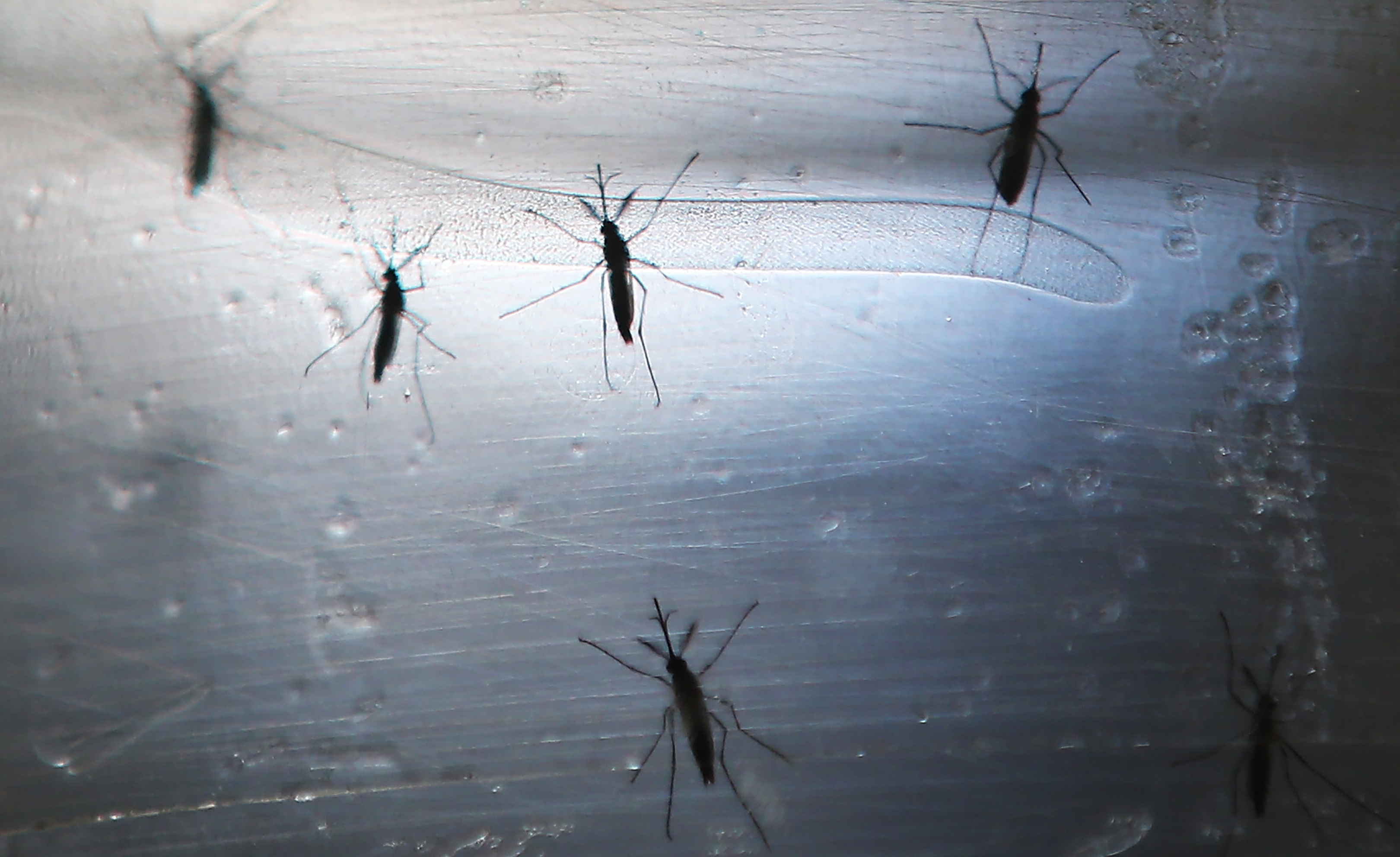RECIFE, BRAZIL - JUNE 02: Aedes aegypti mosquitos are seen in a lab at the Fiocruz Institute on June 2, 2016 in Recife, Brazil. Microcephaly is a birth defect linked to the mosquito-borne Zika virus where infants are born with abnormally small heads. The Brazilian city of Recife and surrounding Pernambuco state remain the epicenter of the Zika virus outbreak, which has now spread to many countries in the Americas. A group of health experts recently called for the Rio 2016 Olympic Games to be postponed or cancelled due to the Zika threat but the WHO (World Health Organization) rejected the proposal.  (Photo by Mario Tama/Getty Images)