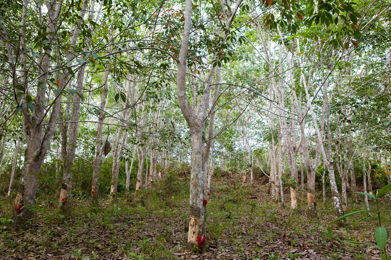 Rubber trees, Long Pahangai, Borneo