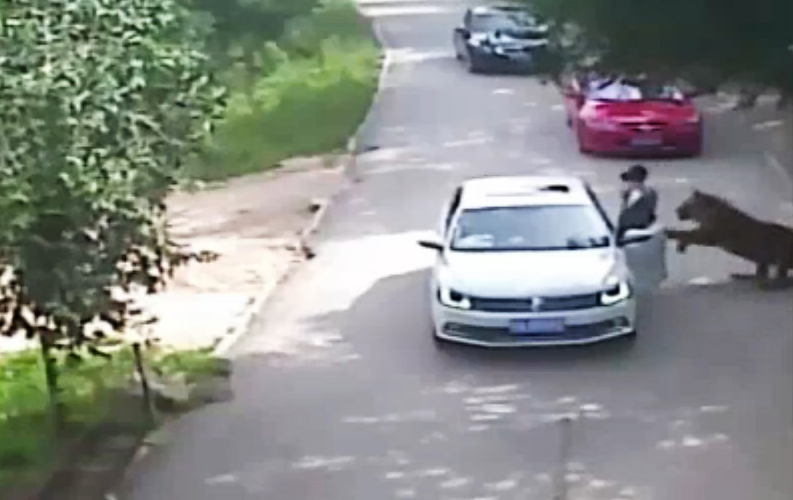 This video frame grab received from China's state broadcaster CCTV shows a tiger attacking a passenger after she stepped out a car at Beijing Badaling Wildlife World on July 23, 2016.