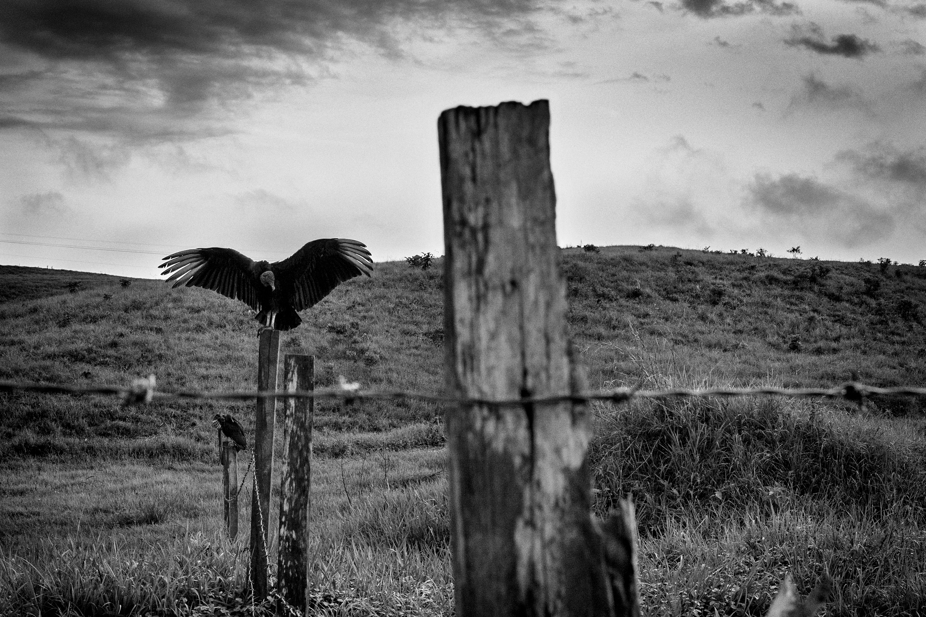 A vulture rests in the community of Mona  where there is evidence of the right-wing paramilitaries reemergence.                               The villages of Mona and Puerto Torres were the main operational centers of the paramilitaries in the region of Caqueta, Colombia. Prisoners suspected of collaborating with FARC were tortured at the church and local school, April 2016.