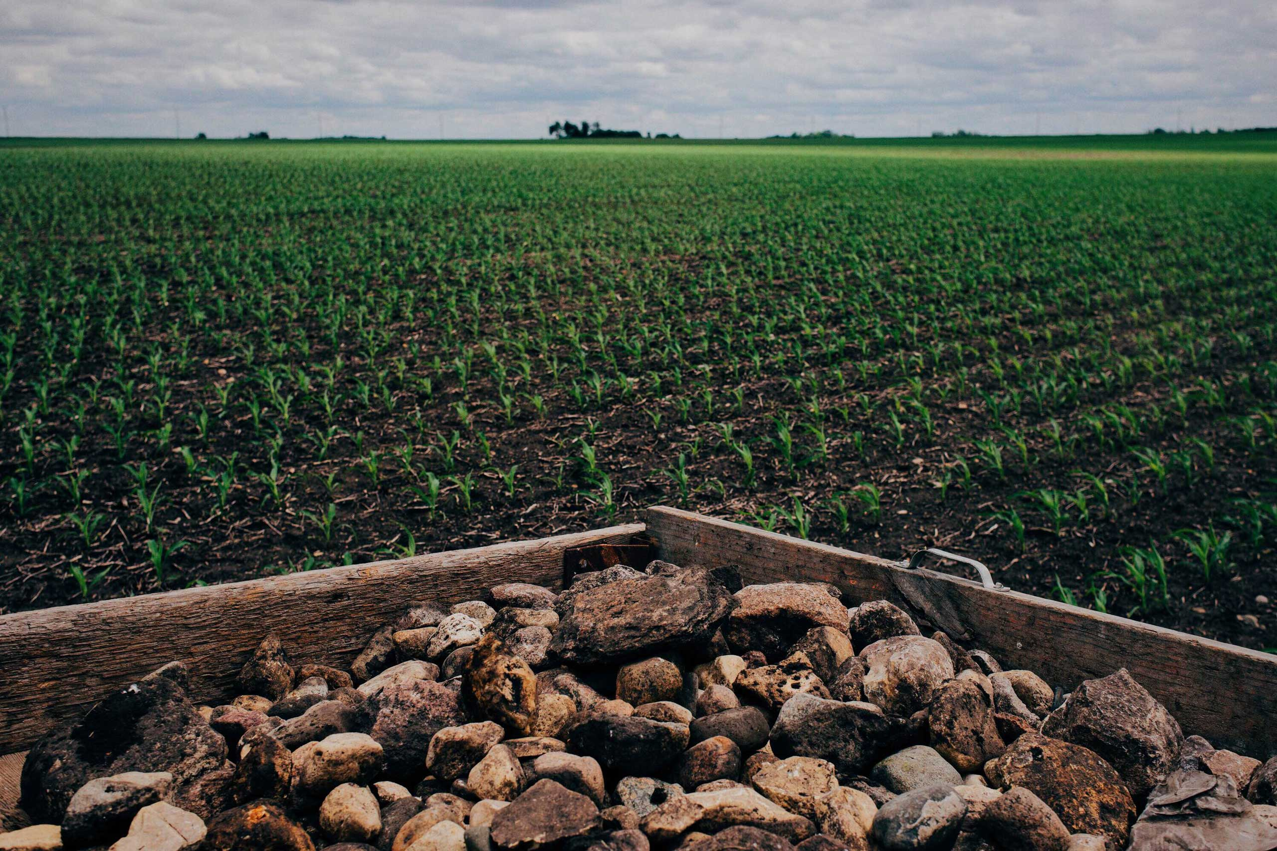 Corn grows behind a trailer full of rocks in Springfield Township, Minnesota on June 1, 2016. The crop was planted less than a month ago, but in just one month the corn grows two meters high.