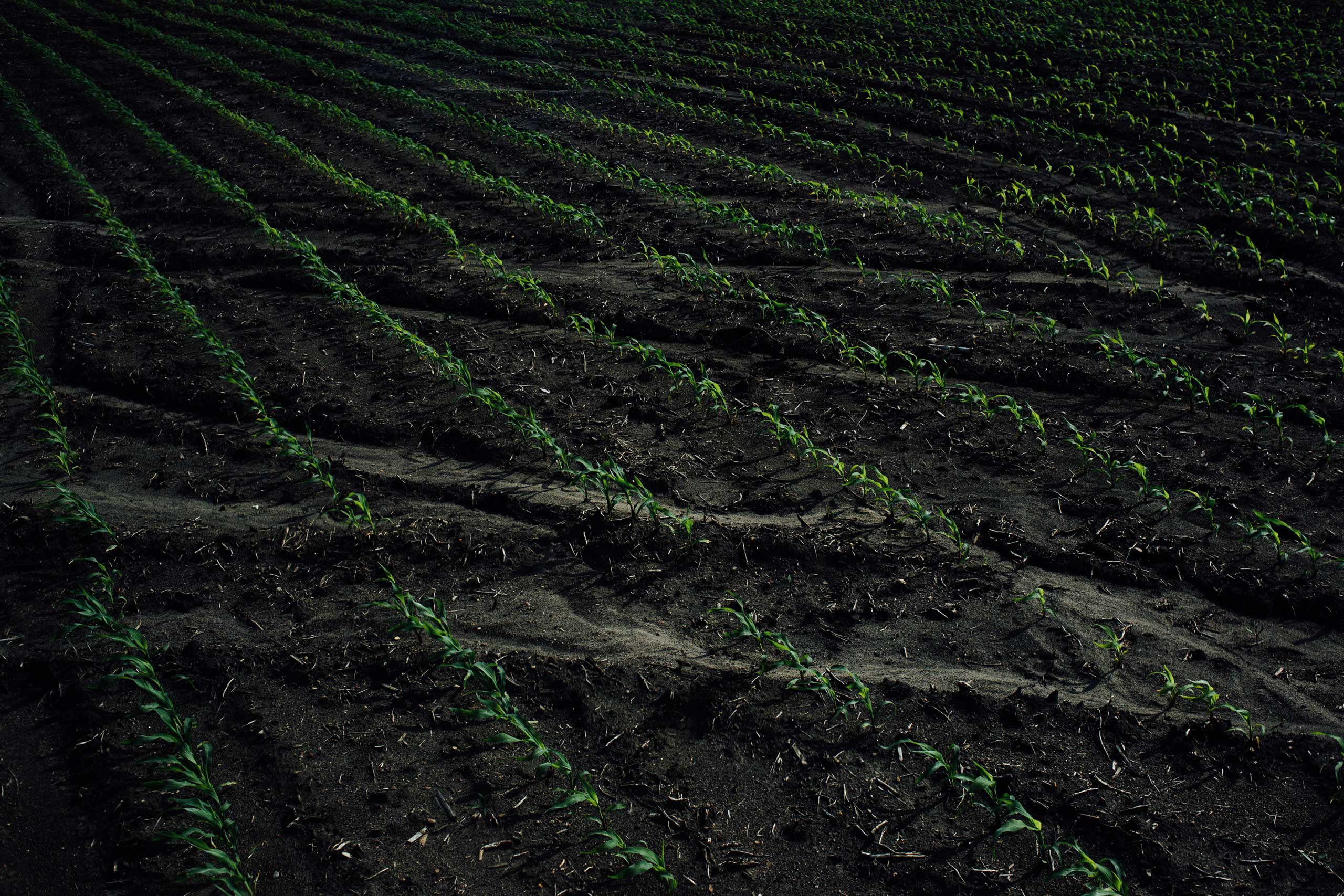Tracks from heavy rain runoff cross rows of corn in a field in Kimball Township, Minnesota on June 1, 2016.