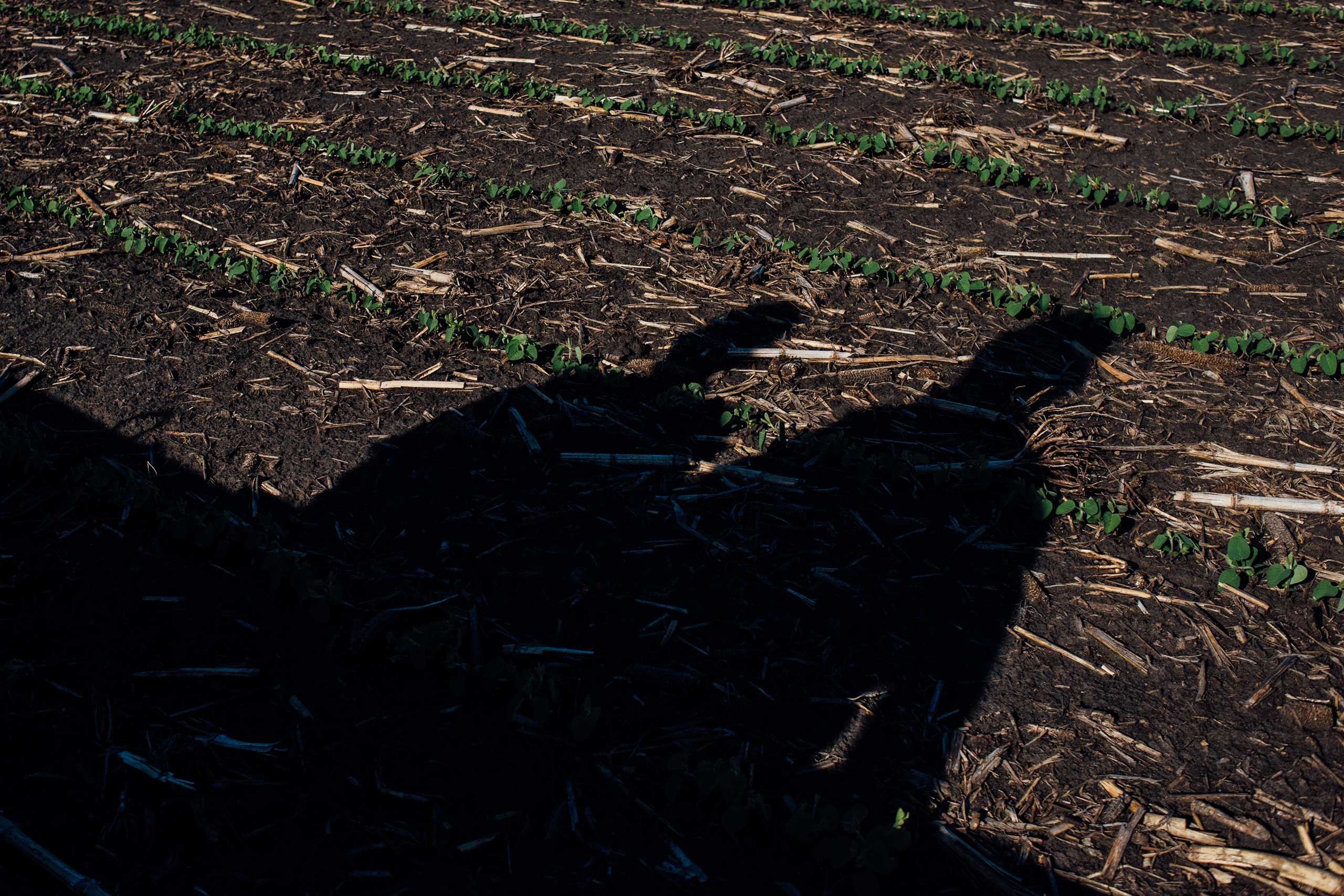 Shadows fall on the tiny rows while rock picking in Springfield Township, Minnesota on June 2, 2016.