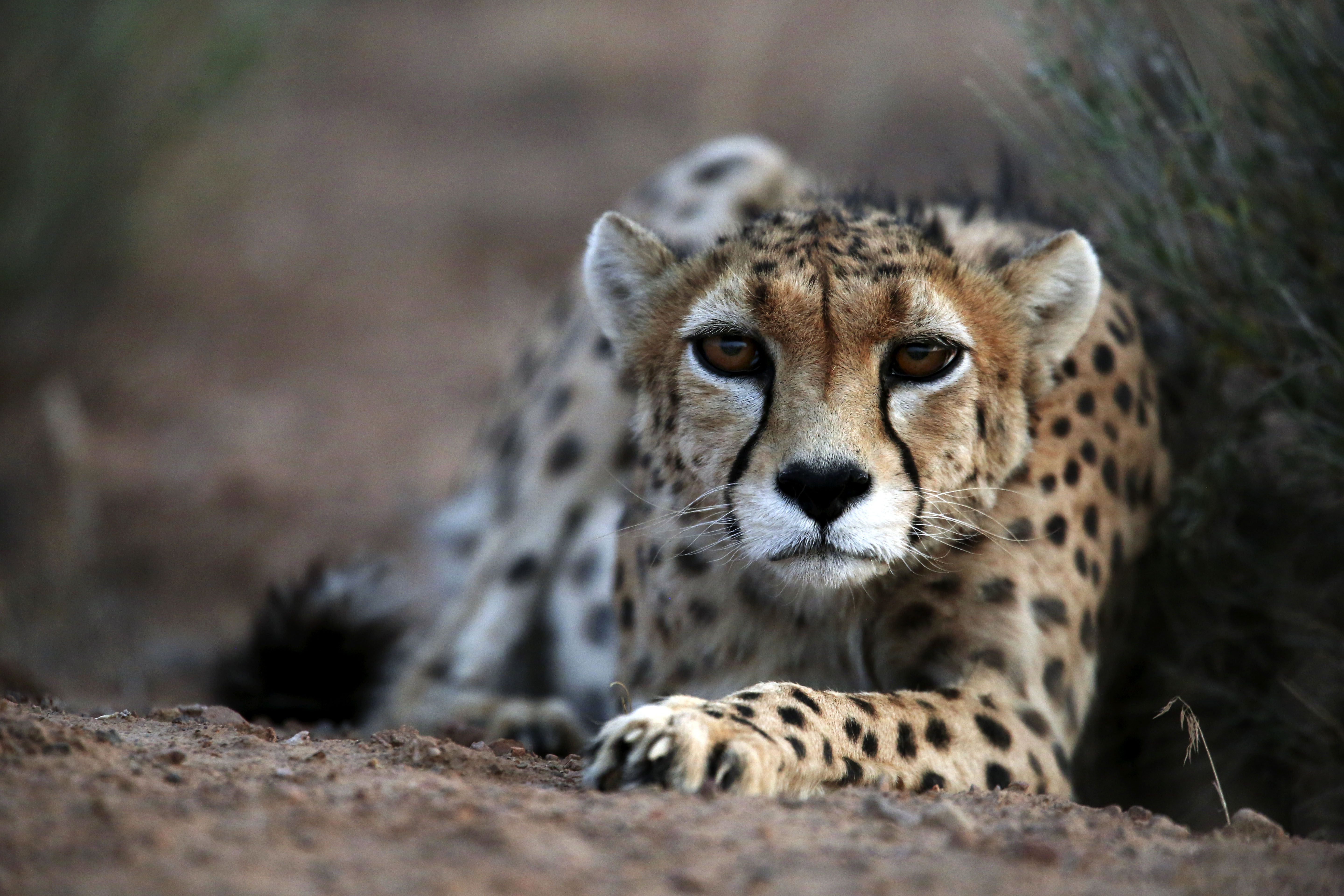 In this May 25, 2014, photo, 7-year-old male Asiatic cheetah, named Koushki, crouches at the Miandasht Wildlife Refuge in Jajarm, northeastern Iran