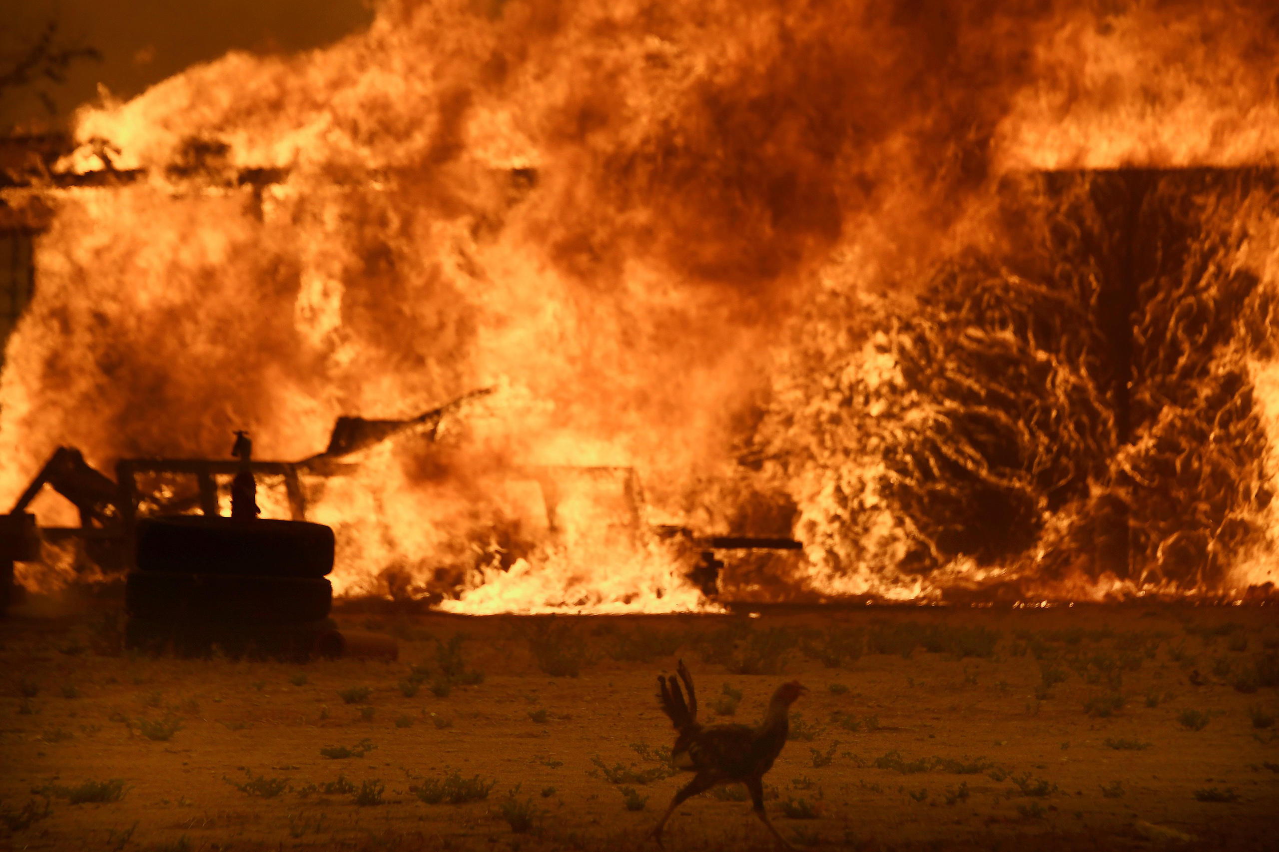 A chicken runs by a chicken coop that burns with animals still inside at in San Bernardino National Forest in San Bernardino County, Calif., Aug. 16, 2016.