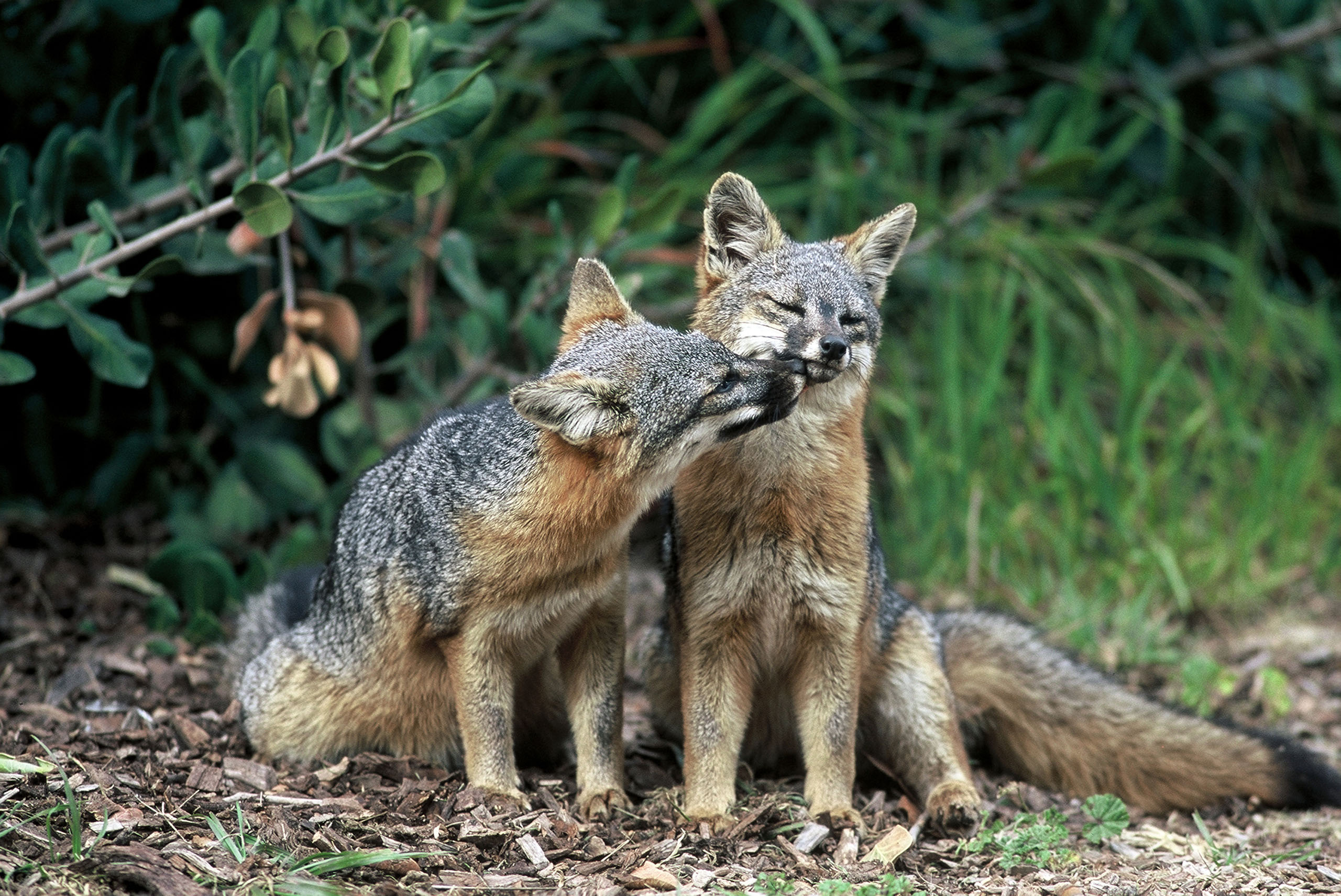 Two island foxes in Channel Islands National Park, Calif. Three fox subspecies native to California's Channel Islands were removed from the list of endangered species, Aug. 11, 2016.