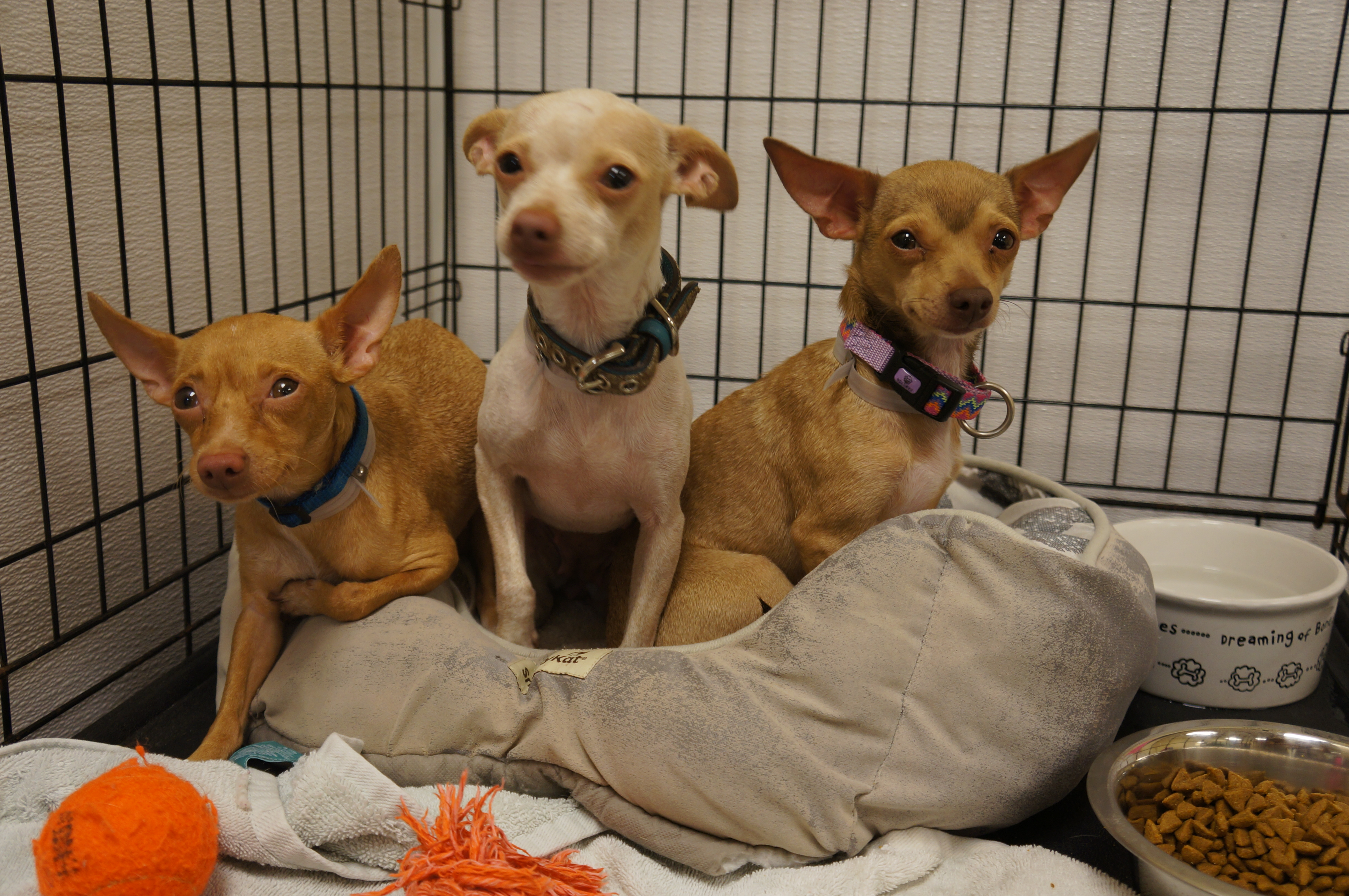 Three of the twenty-four rescued chihuahuas at SPCA of Brevard.