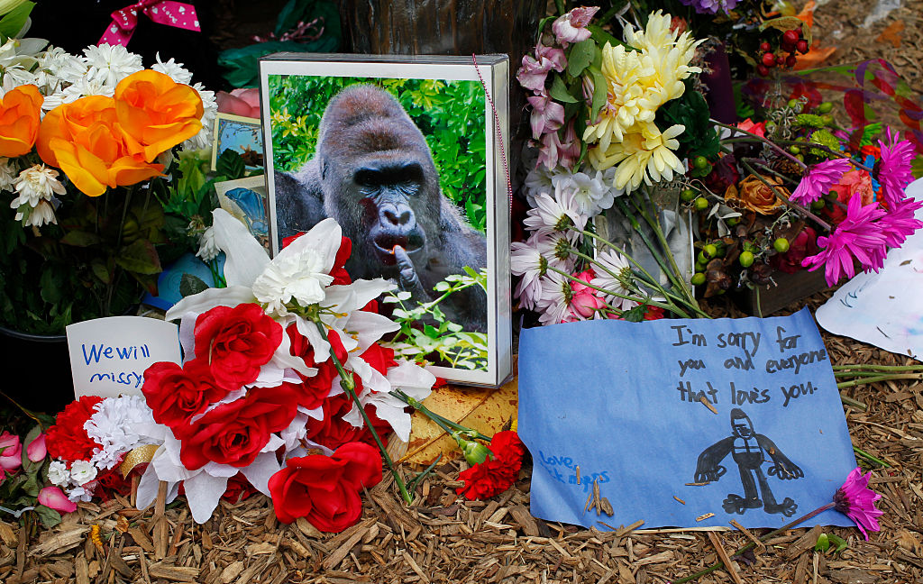 Flowers lay outside the Cincinnati Zoo's Gorilla World exhibit days after a 3-year-old boy fell into the moat and officials were forced to kill Harambe, a 17-year-old gorilla on June 2, 2016 in Cincinnati, Ohio.
