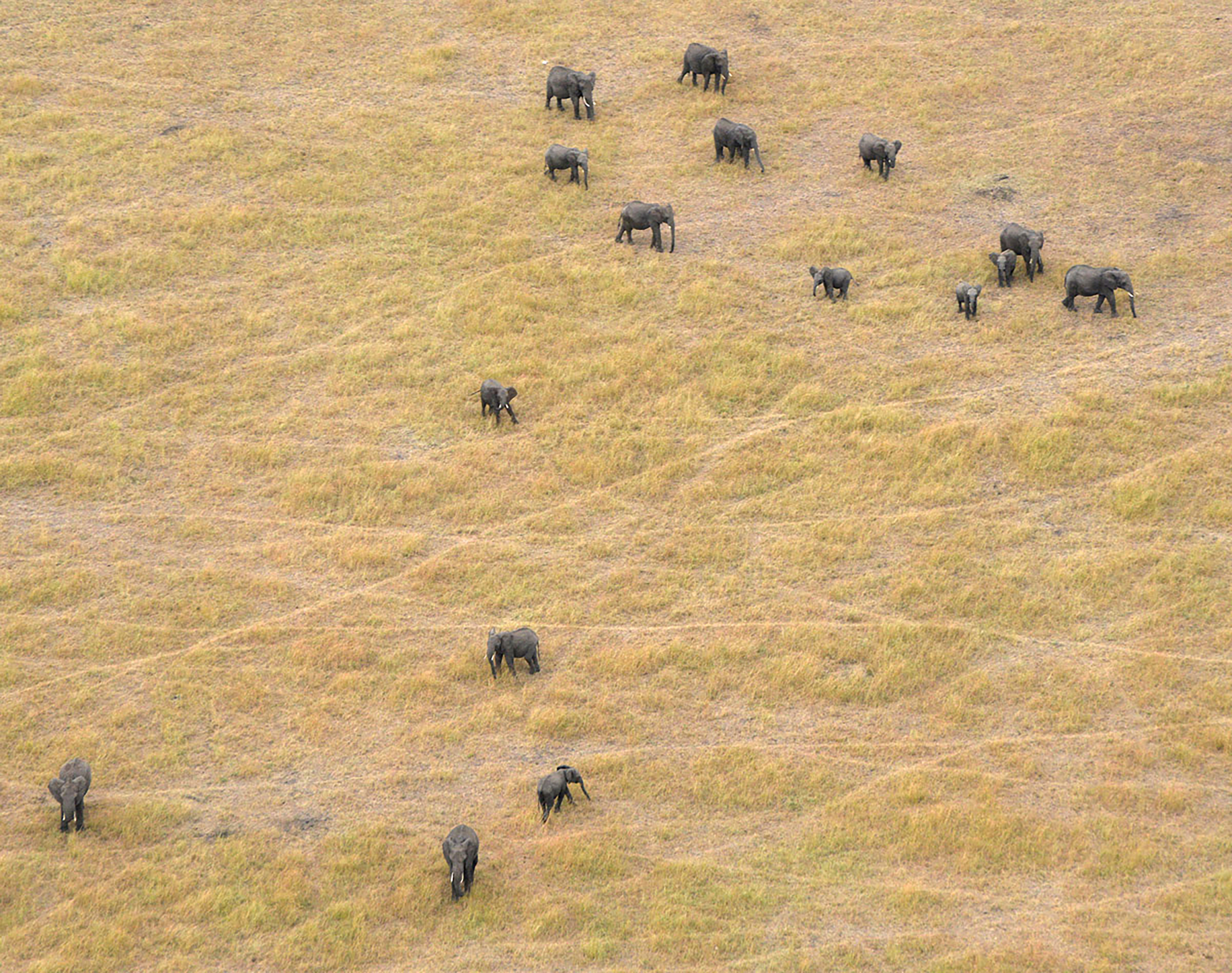 Elephants graze in Serengeti National Park in Tanzania, in June 2014.