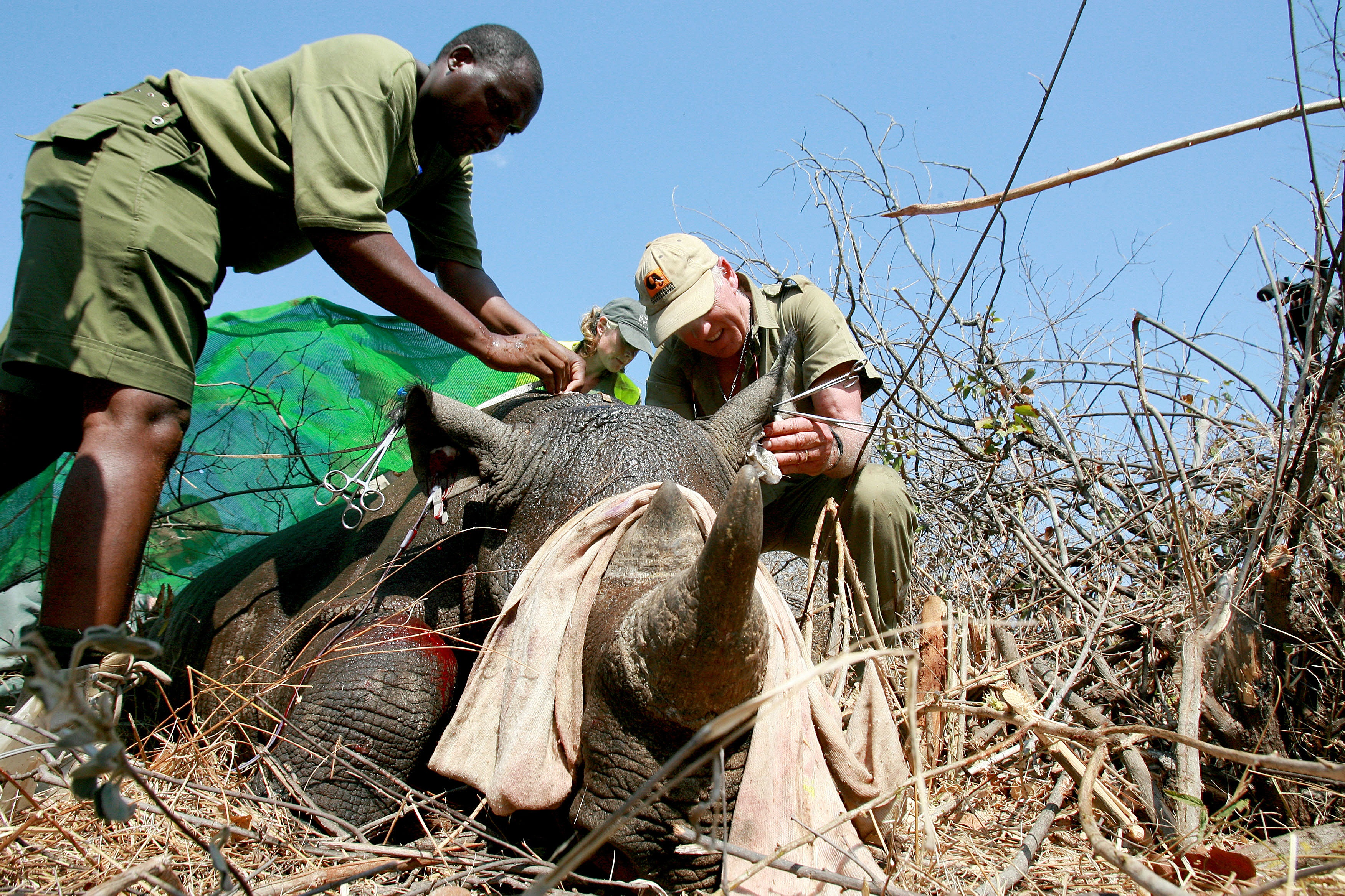 In this file photo from October 8, 2010, workers from the World Wildlife Fund (WWF) go through a process of de-horning  a rhino in Chipinge National Park in Zimbabwe.