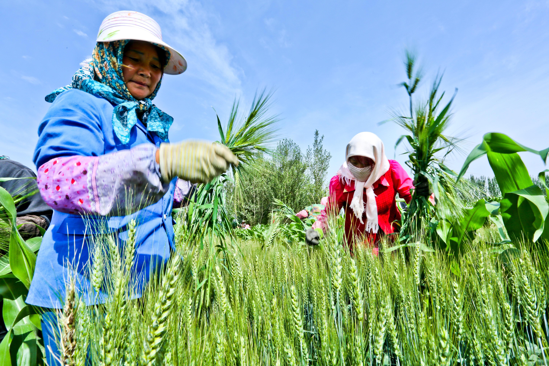 Villagers work on their farmlands in Ganzhou district of Zhangye City, northwest China's Gansu province, on June 22, 2015